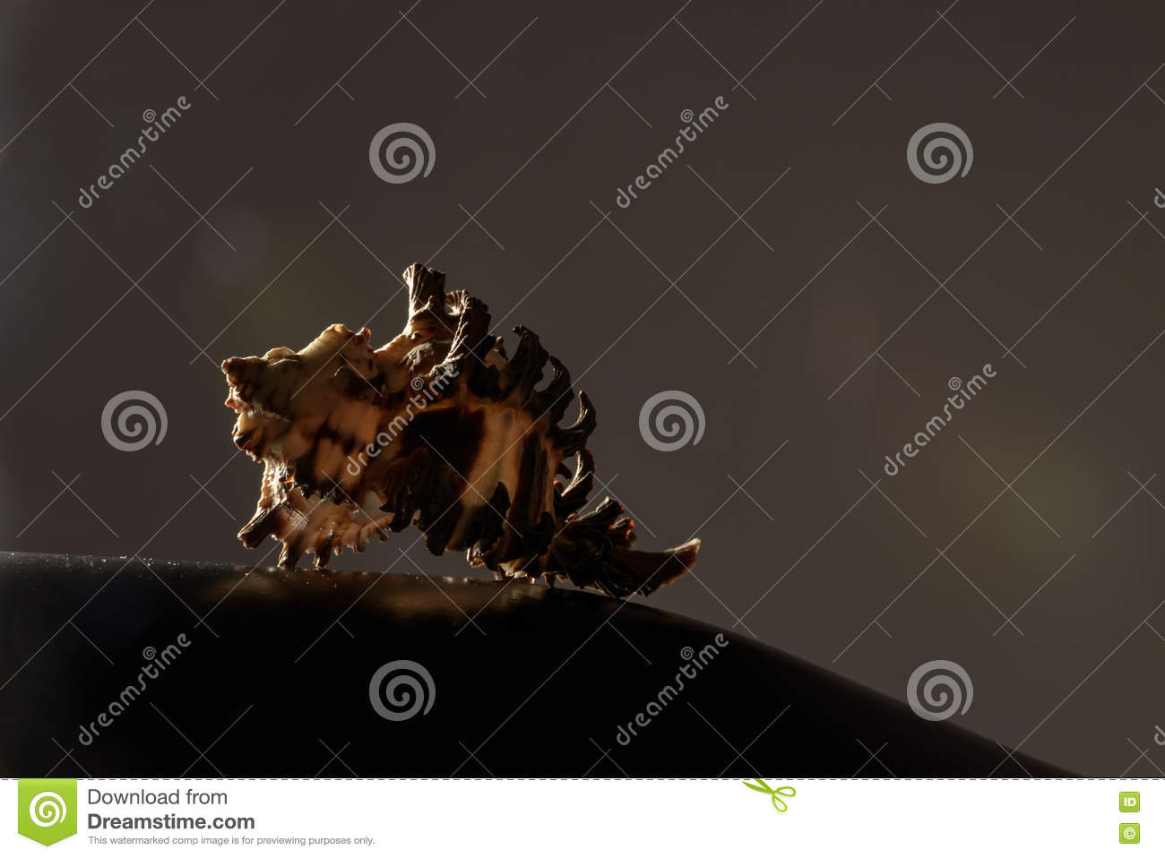 Artistic sea shell photography on dark background