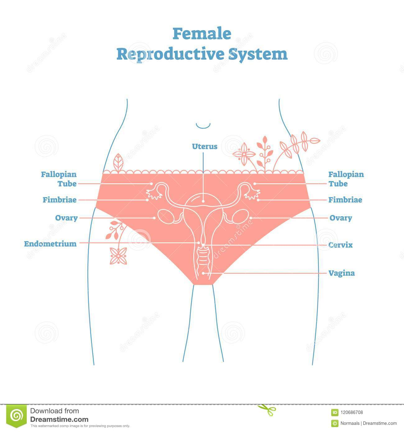 Artistic Style Female Reproductive System Vector Illustration