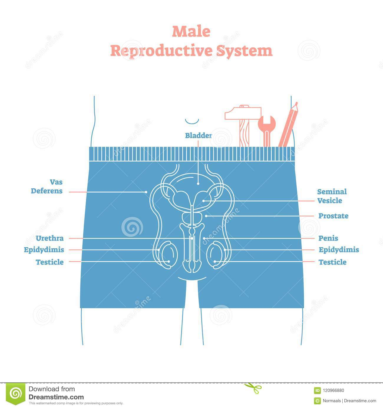 Artistic Style Male Reproductive System Vector Illustration