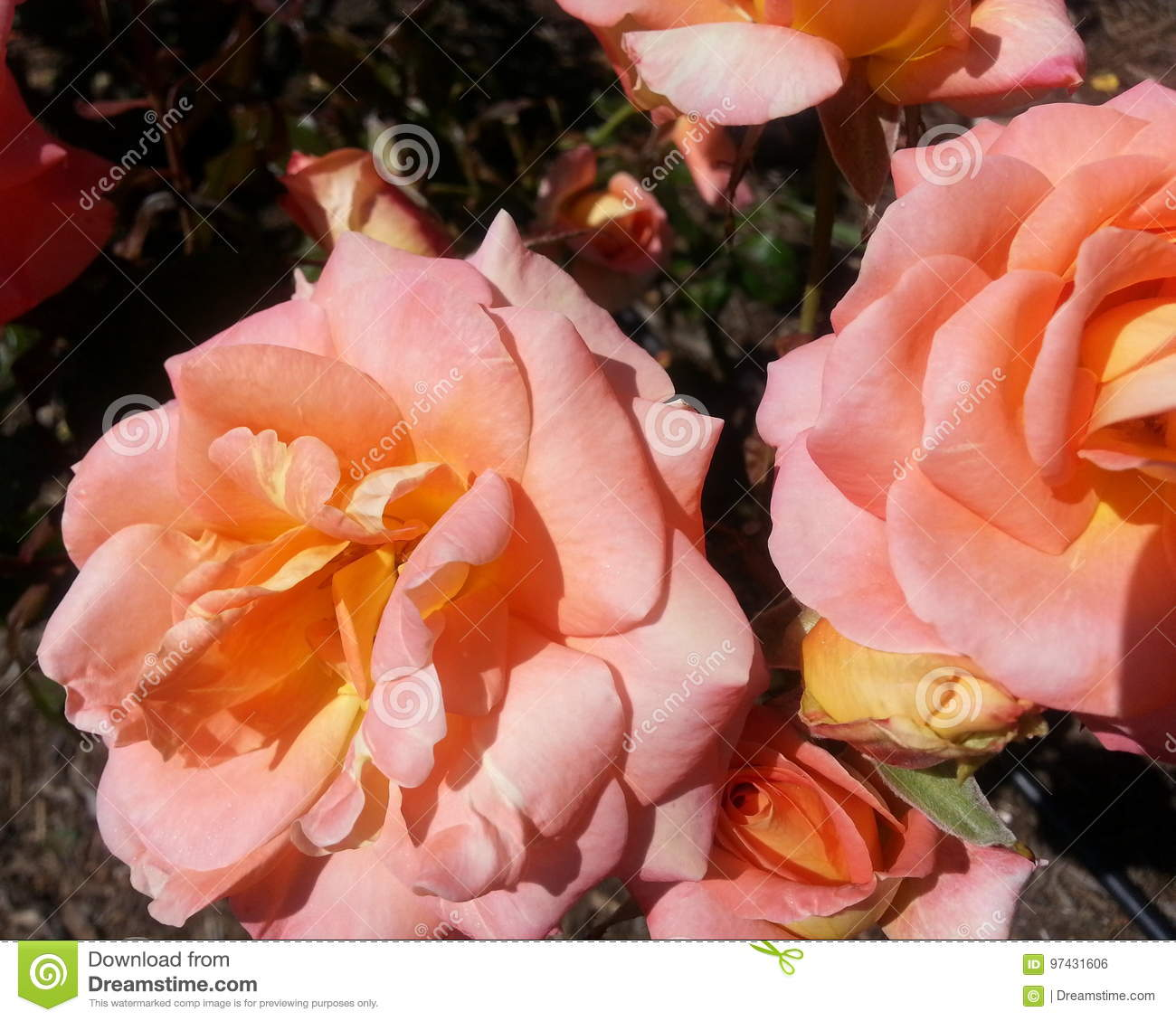 Download Artistry Roses stock photo. Image of ideal, orange, beautiful - 97431606