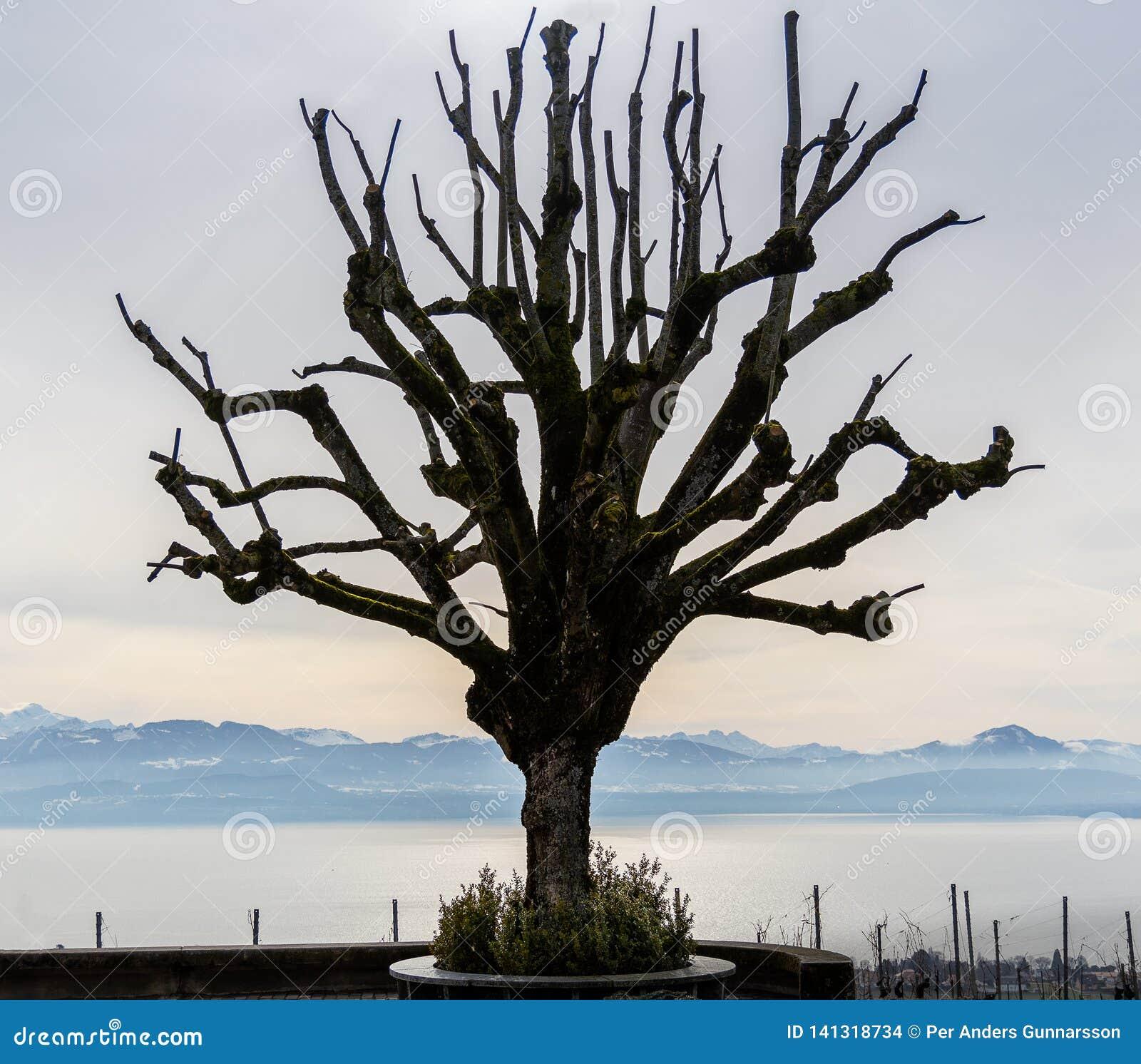 Artystyczny jeden osamotniony drzewny jeziorny Geneva i szwajcarscy alps