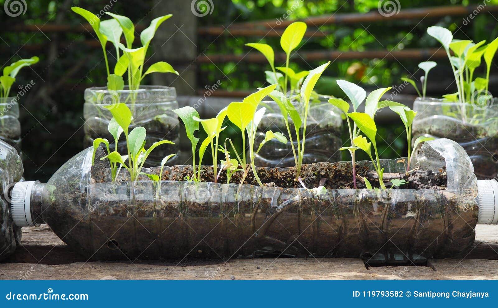 As árvores são plantadas em umas garrafas plásticas recicladas Plantado em uma garrafa O plástico recicl