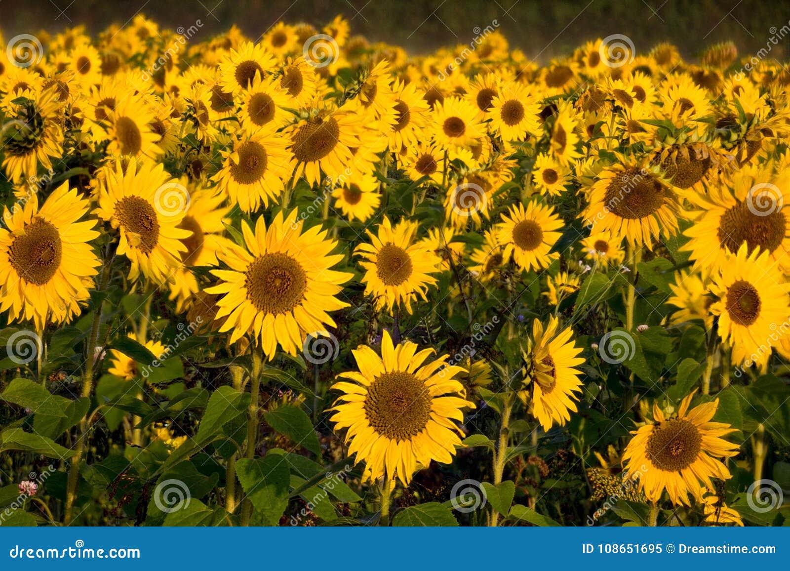 Corner Of Berkshire.British Sunflowers Whitehouse Green Berks Stock Image