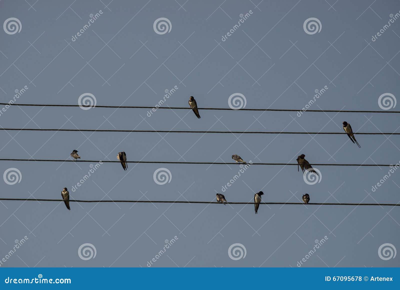 As andorinhas estão sentando-se no fio bonde, fundo do céu azul Descanso pequeno dos pássaros Pássaro nacional estônio