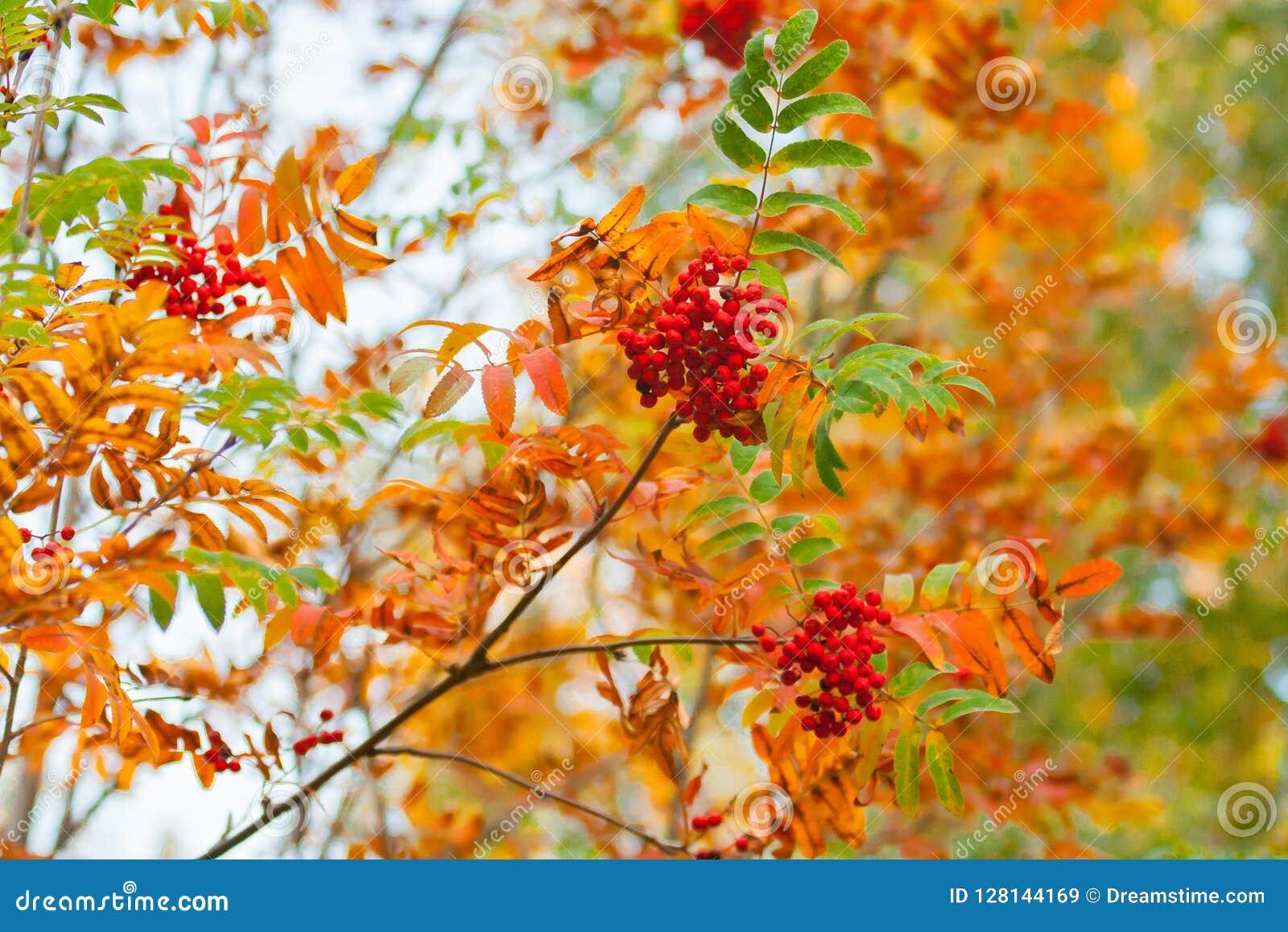 """As bagas vermelhas e Rowan alaranjado saem †""""de uma ideia ampliada bonita de um ramo de árvore no outono com efeito do bokeh"""