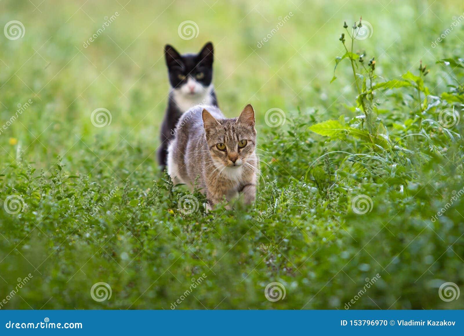 As caminhadas de gato cinzentas entre a grama e um segundo gato preto sentam-se na parte traseira