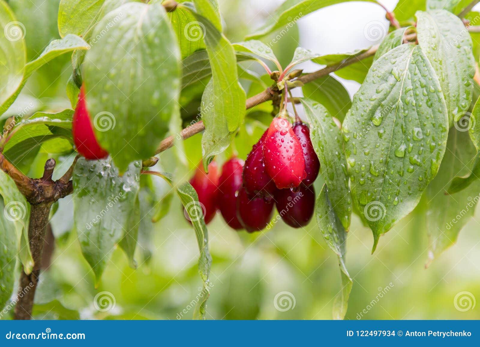 As cerejas de cornalina vermelhas maduras chamaram igualmente o cornel ou o corniso no ramo Fruto do Cornus As bagas do corniso e