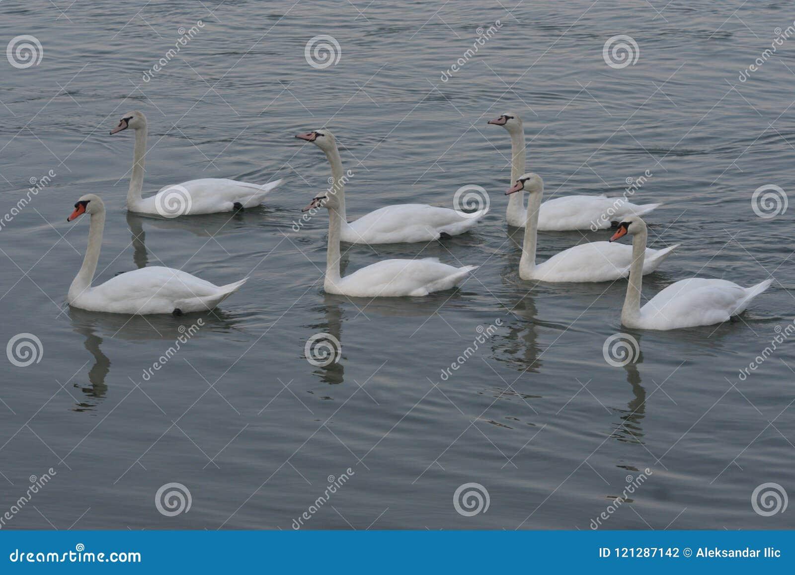 As cisnes são um gênero dos pássaros do Anatidae da família