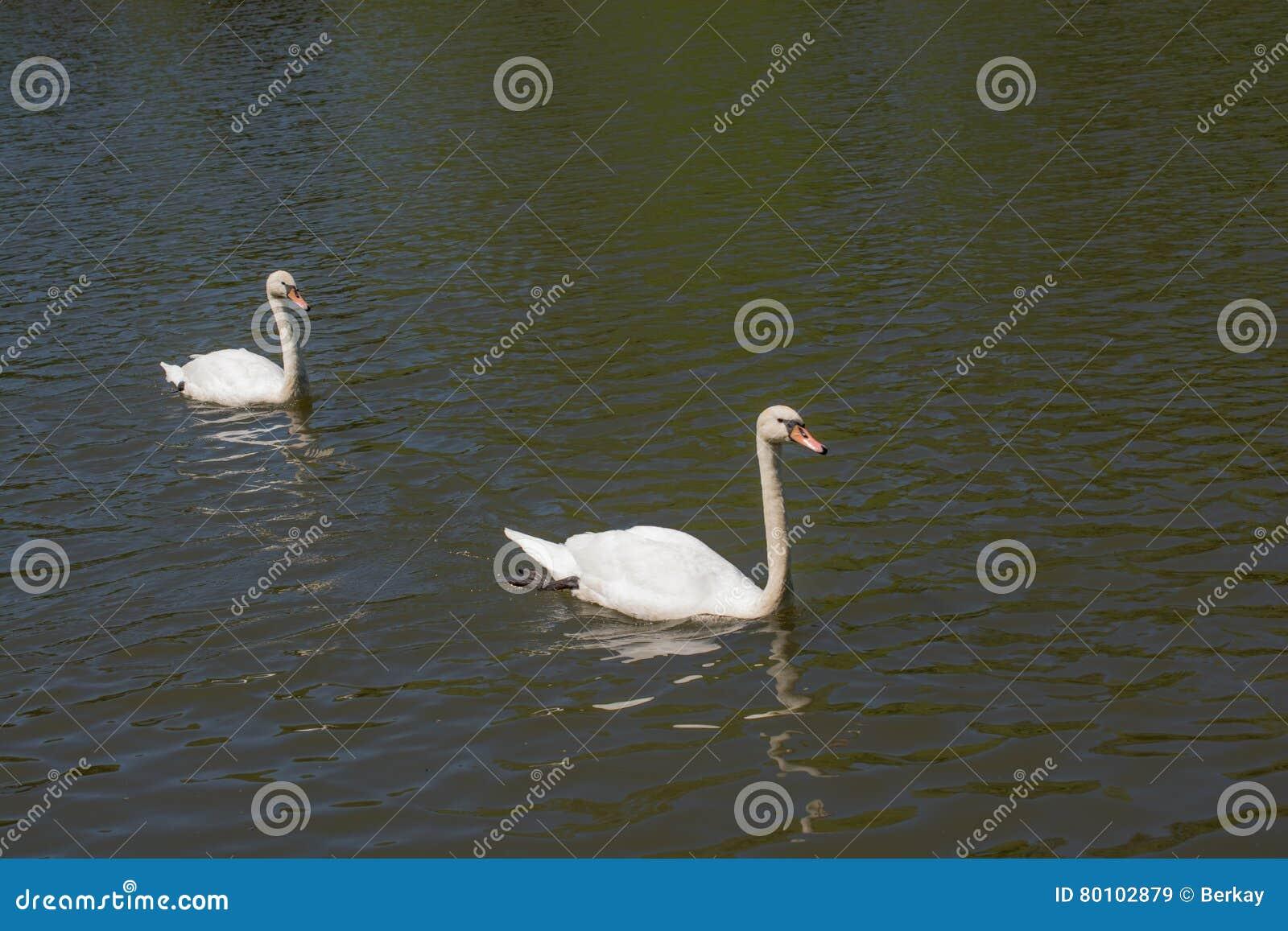 As cisnes sós vivem no ambiente natural
