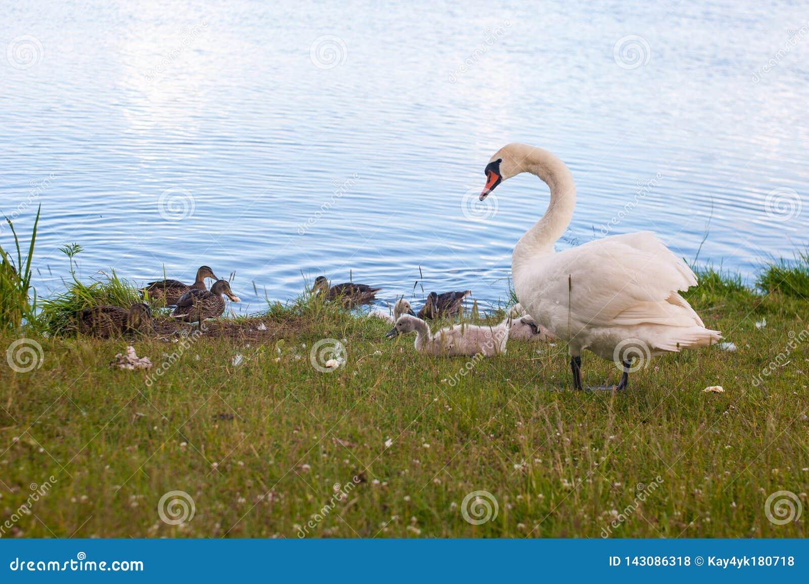 As cisnes s?o p?ssaros do Anatidae da fam?lia dentro do g?nero Cygnus Os familiares pr?ximos das cisnes incluem gansos e patos Ci