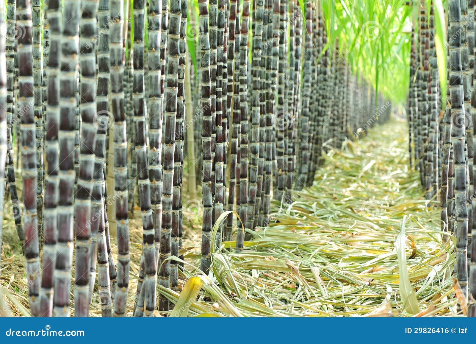 Plantação da cana-de-açúcar