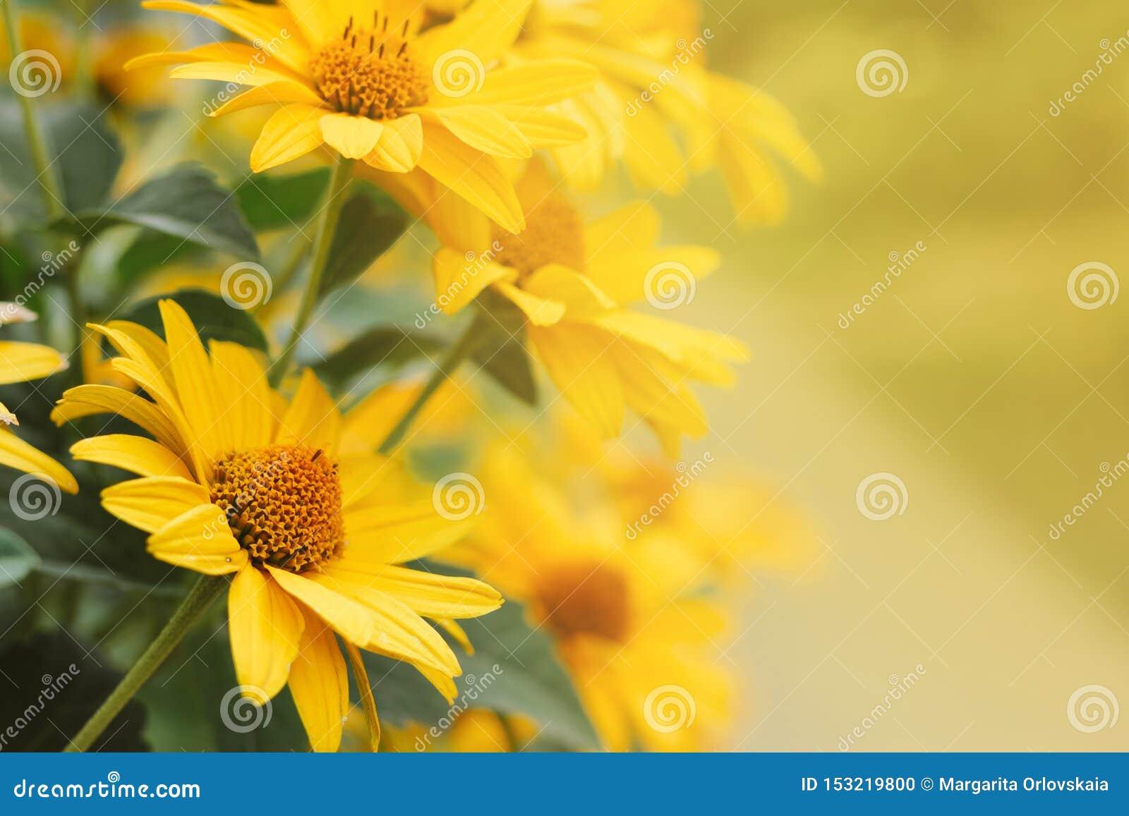 As flores amarelas do Echinacea borraram o fundo do bokeh com um espaço vazio para o texto