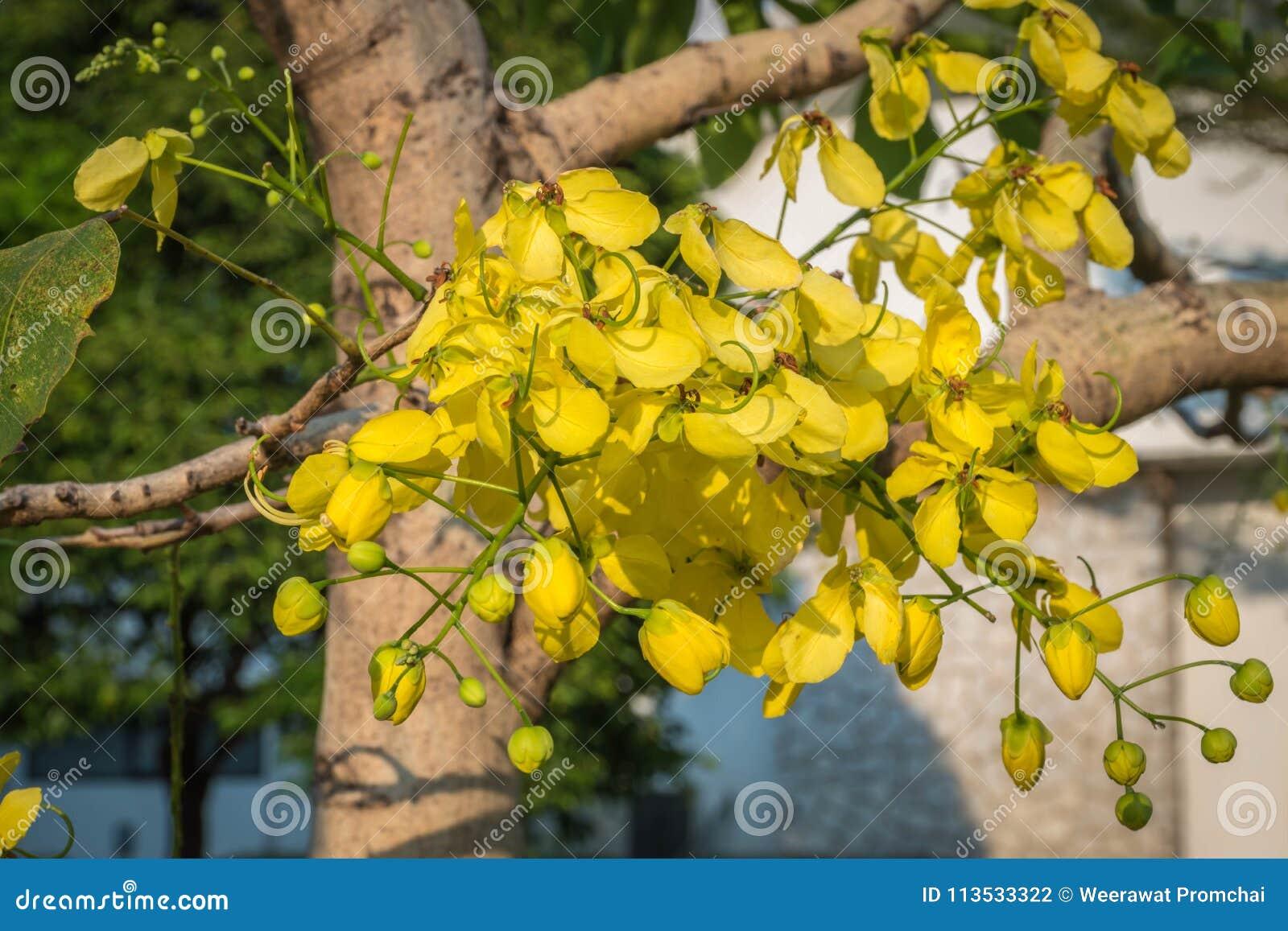 "As flores amarelas nomeadas ""Golden o  do tree†do chuveiro"
