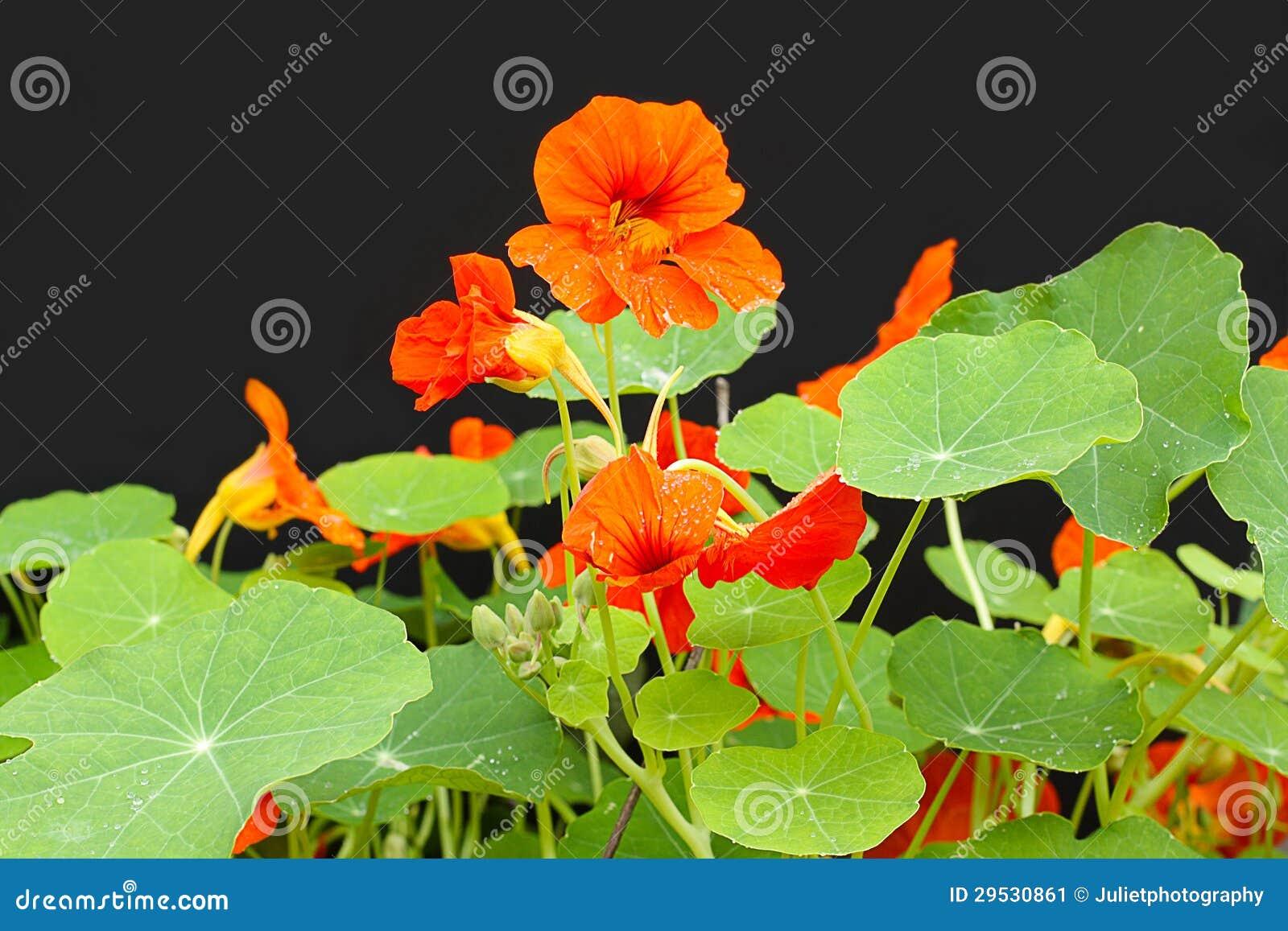 As flores bonitas da chagas fecham-se acima