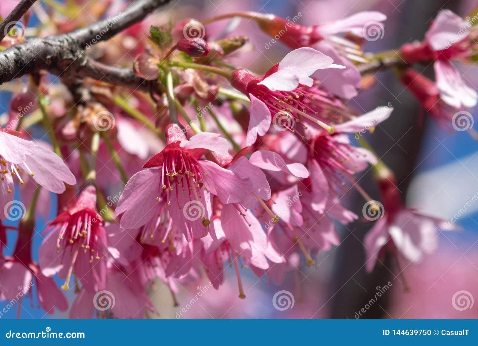 As flores cor-de-rosa lindos da mola estão começando florescer em um dia de mola morno e ensolarado