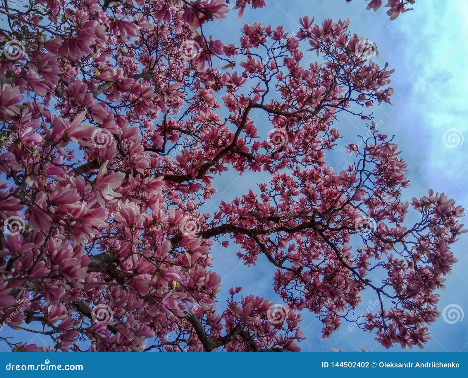As flores da árvore da flor do rosa da magnólia, fecham-se acima do ramo