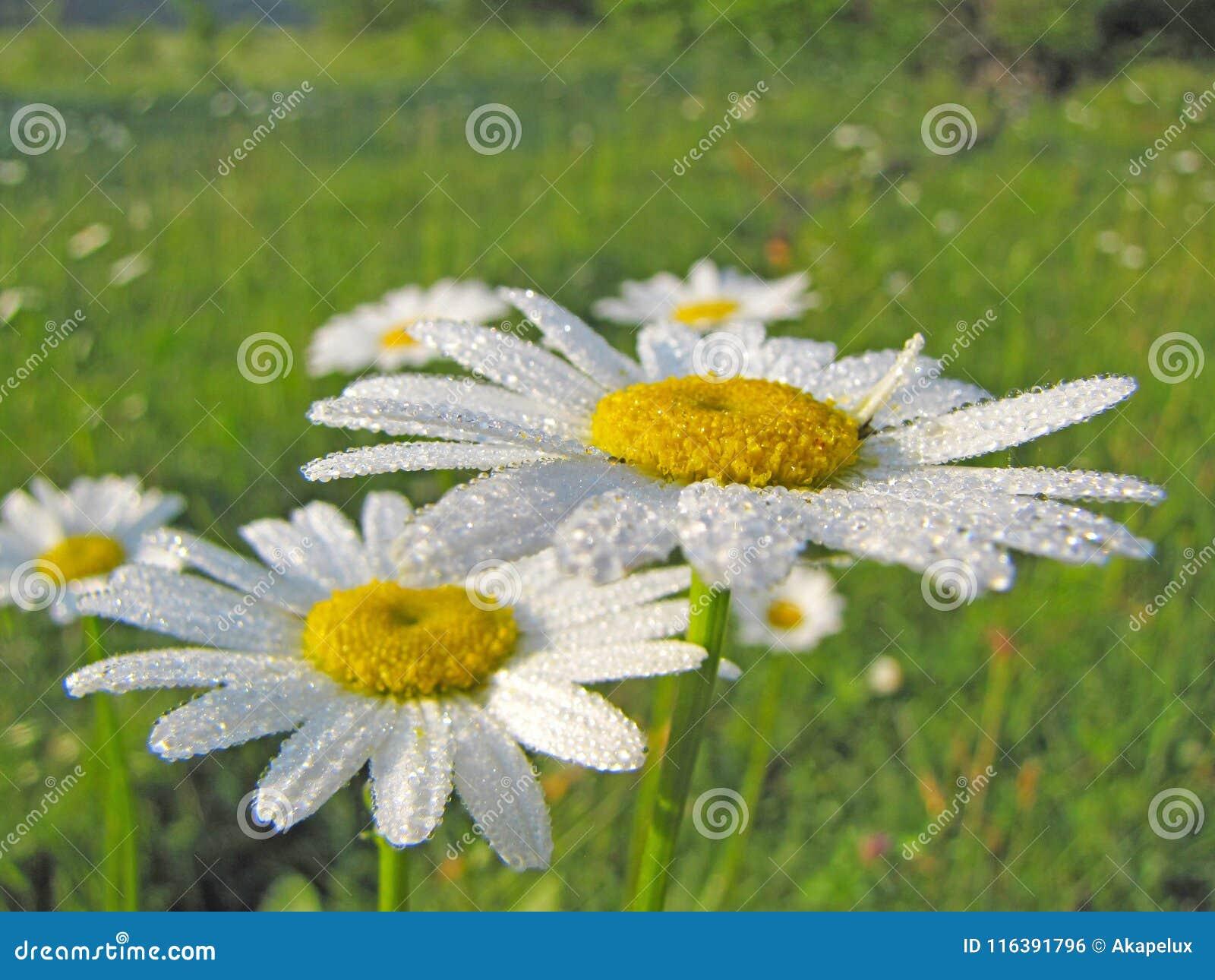 As flores da camomila da camomila nas gotas da manhã orvalham Humor alegre da manhã