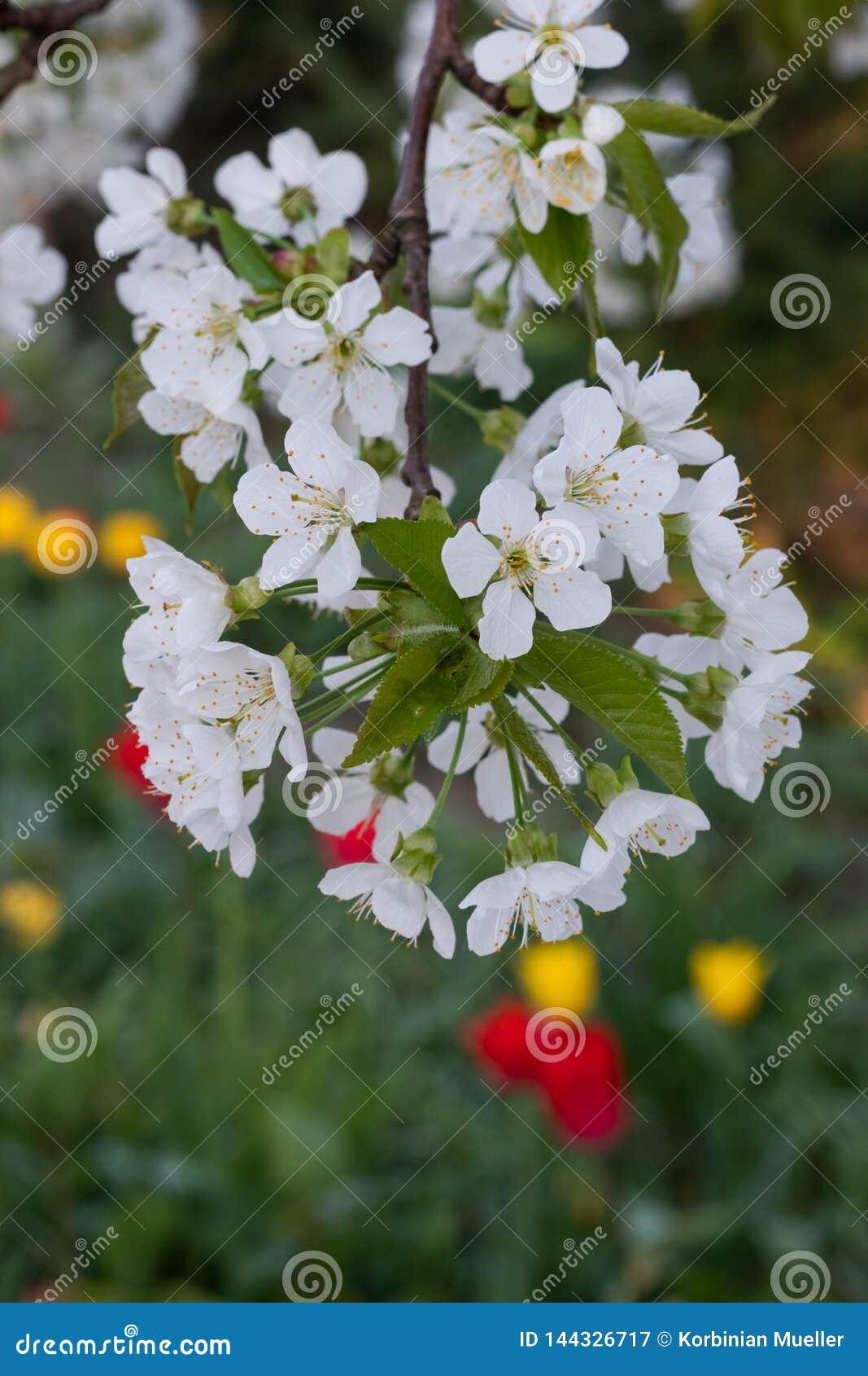As flores de Apple/florescem de uma árvore de maçã