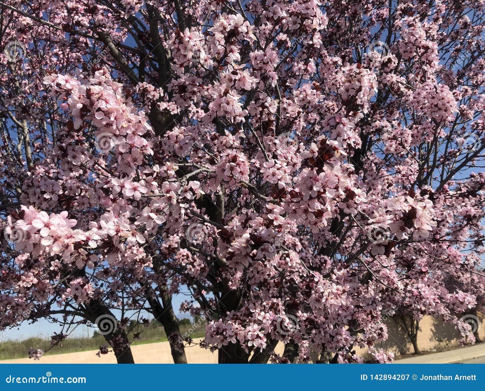 As flores de cerejeira decoram as ruas
