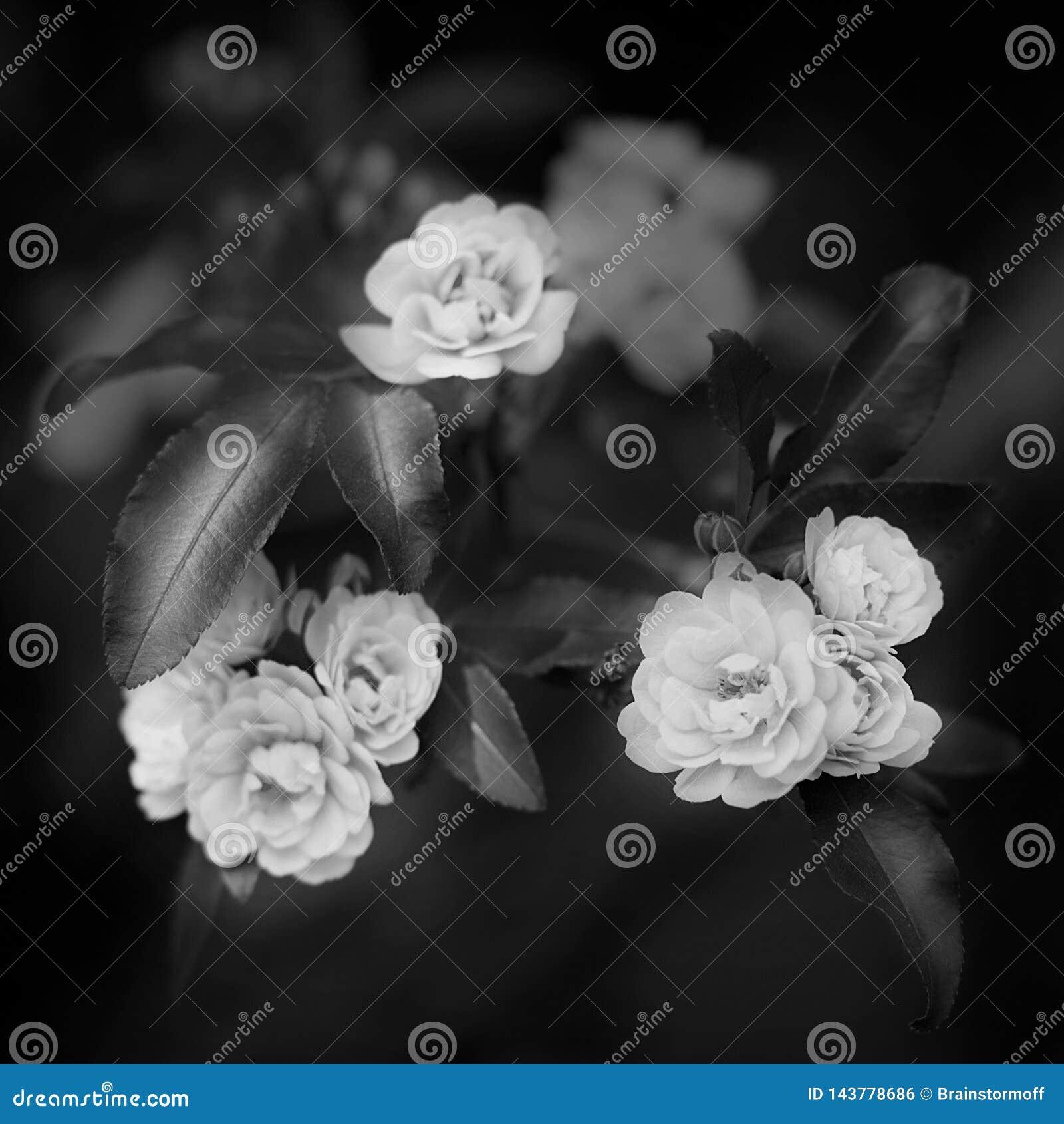 As flores delicadas pequenas das rosas na cor preto e branco, os banksiae de Rosa ou a senhora Banks aumentaram flor, fim macro b