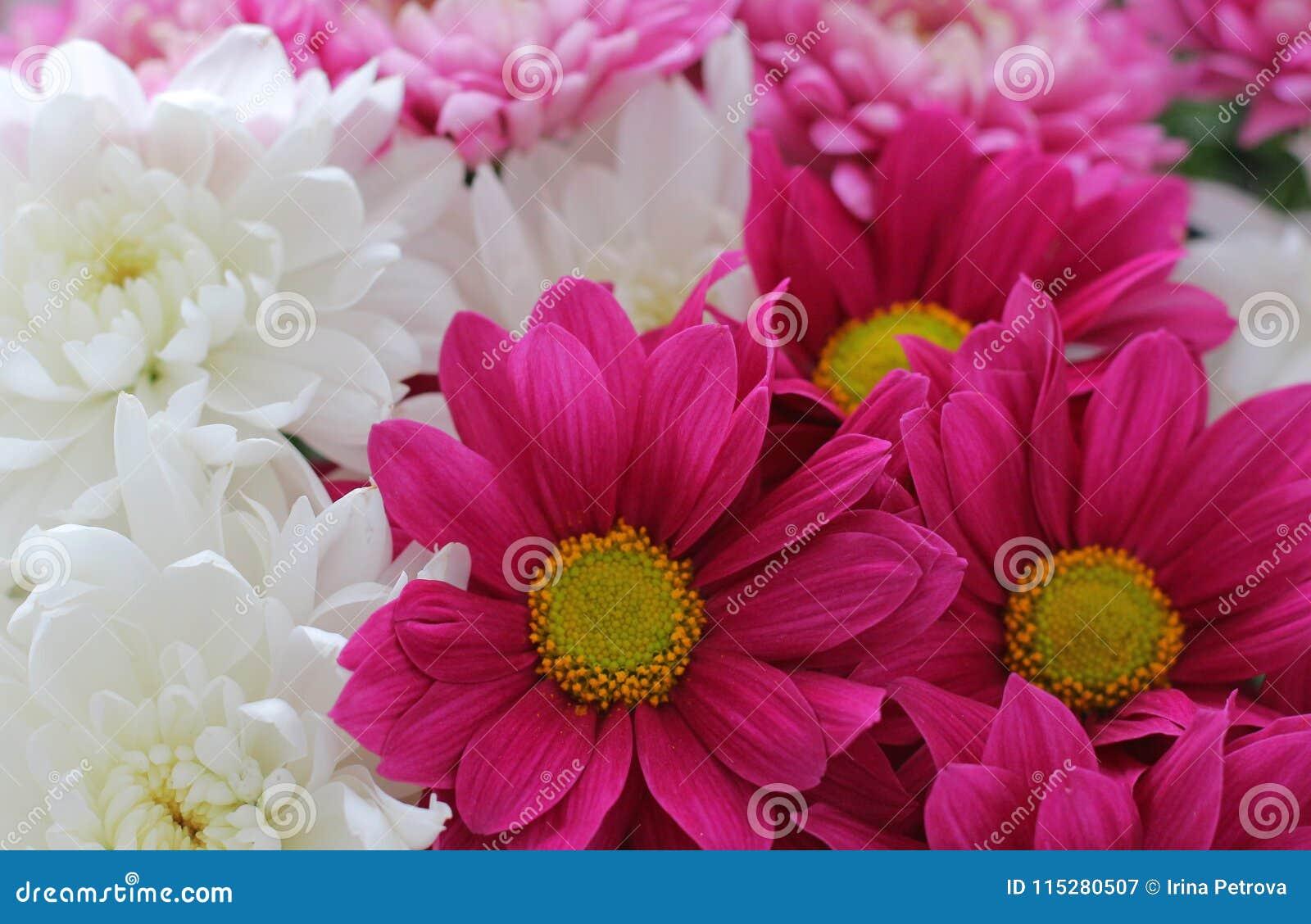 As flores do crisântemo fecham-se acima do fundo da flor