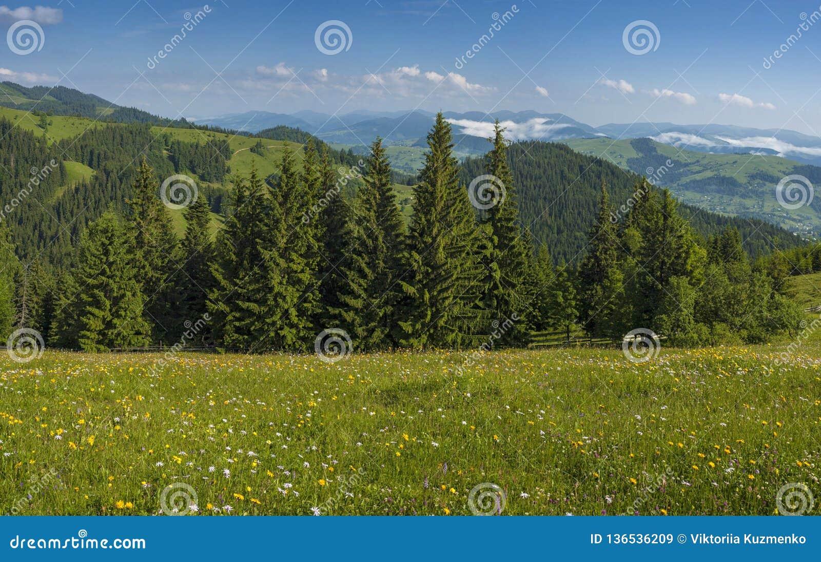 As flores e as ervas do prado florescem nos Carpathians contra o contexto das florestas e das montanhas no verão