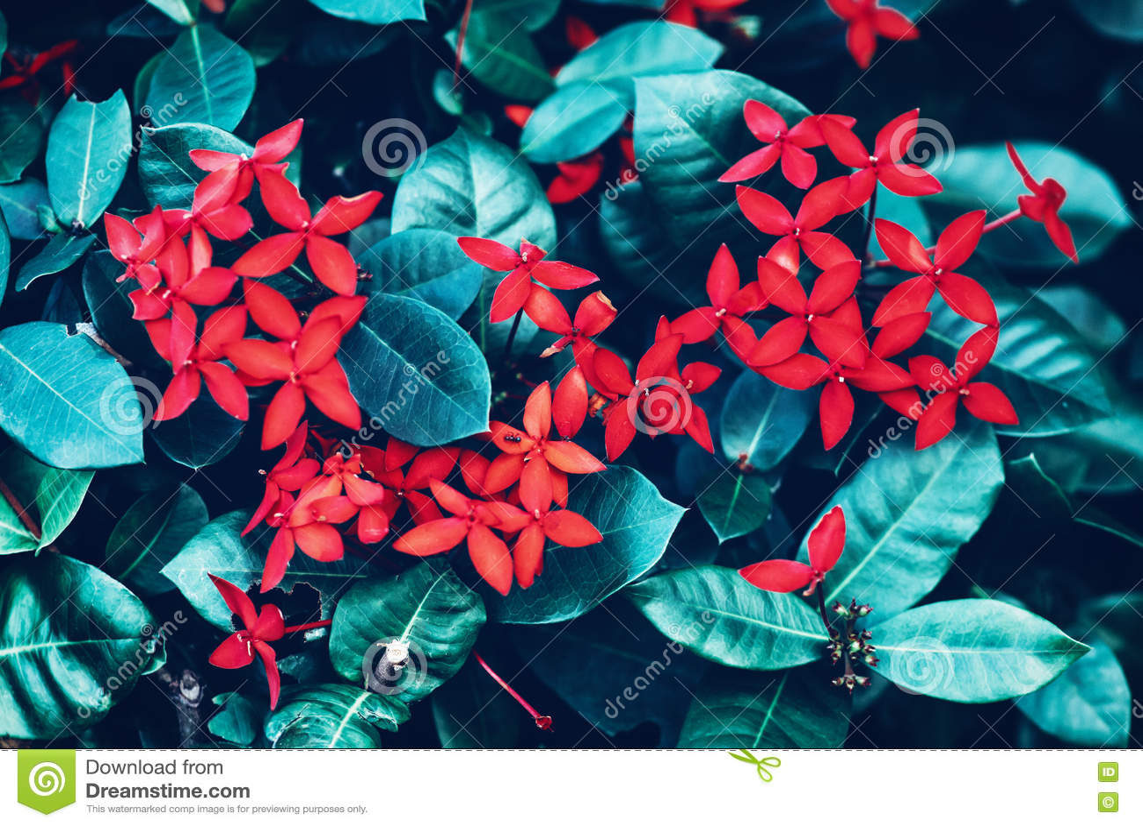 As flores pequenas vermelhas com o fundo ciano verde-claro das folhas, tonificado com instagram filtram na cor retro do vintage