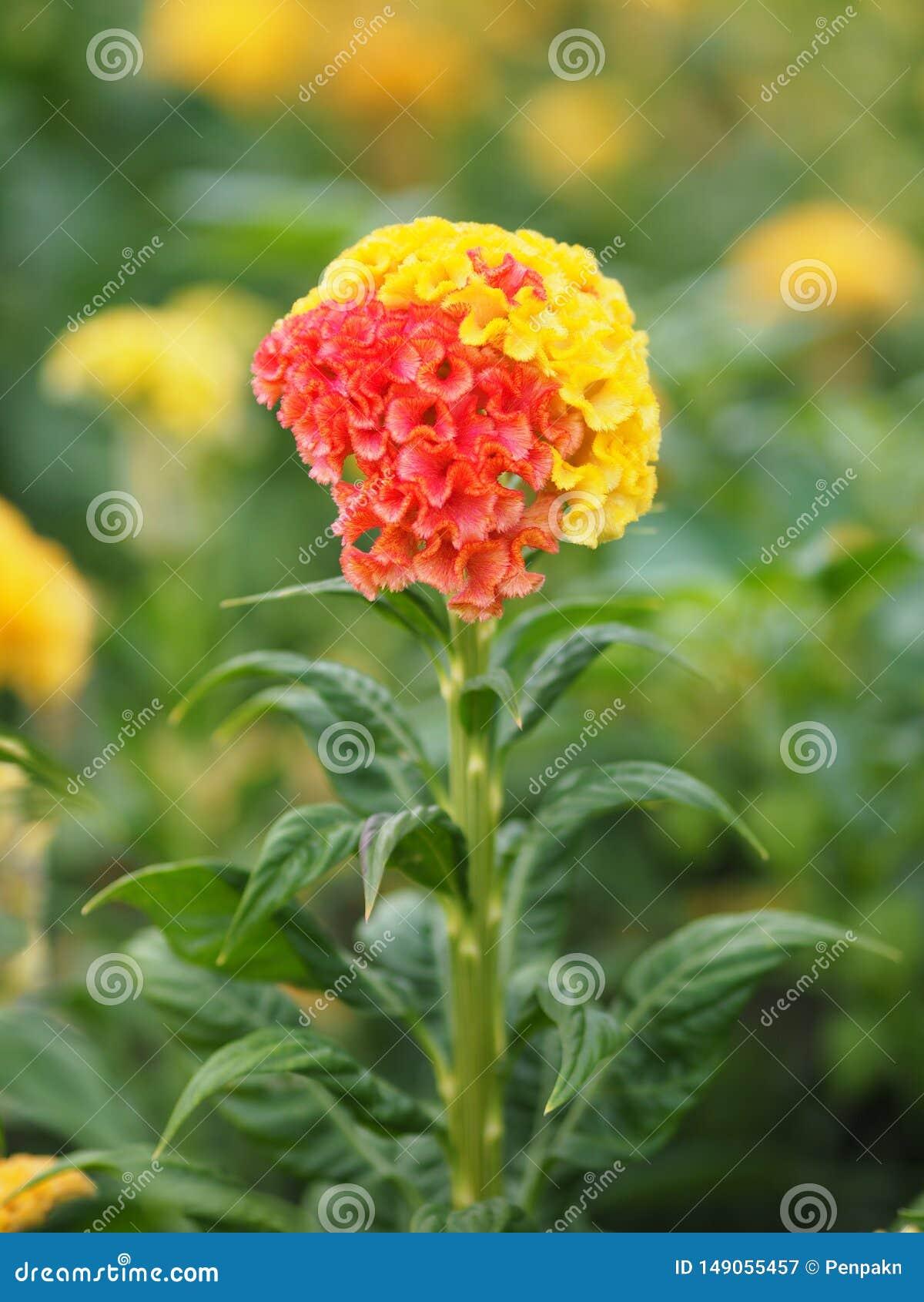 As flores vermelhas e amarelas da crista nomeiam do cristata que do Celosia as flores são pequenas em tamanho mas colarão junto n