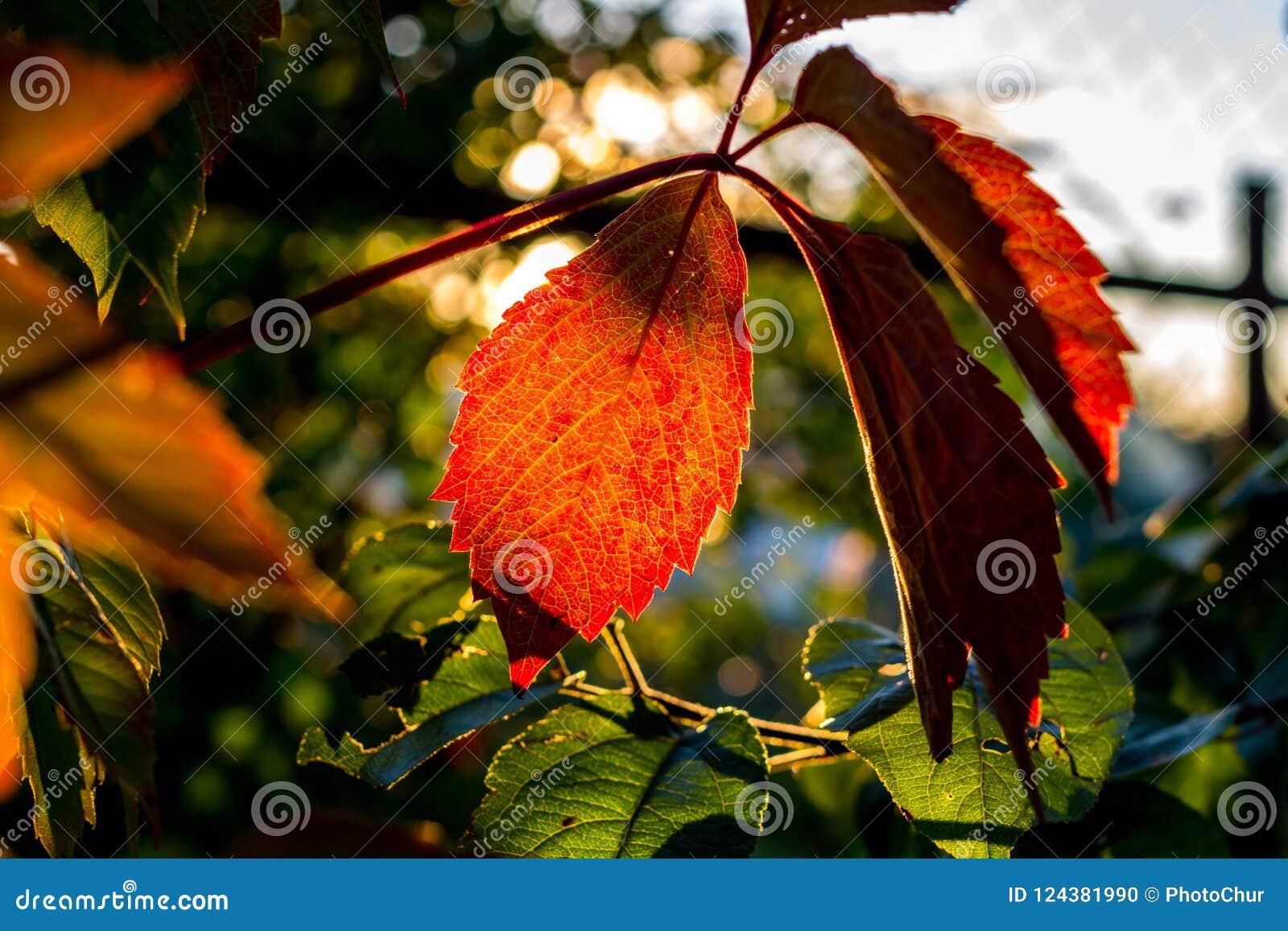As folhas bonitas da videira virgem iluminaram-se pelo sol de ajuste