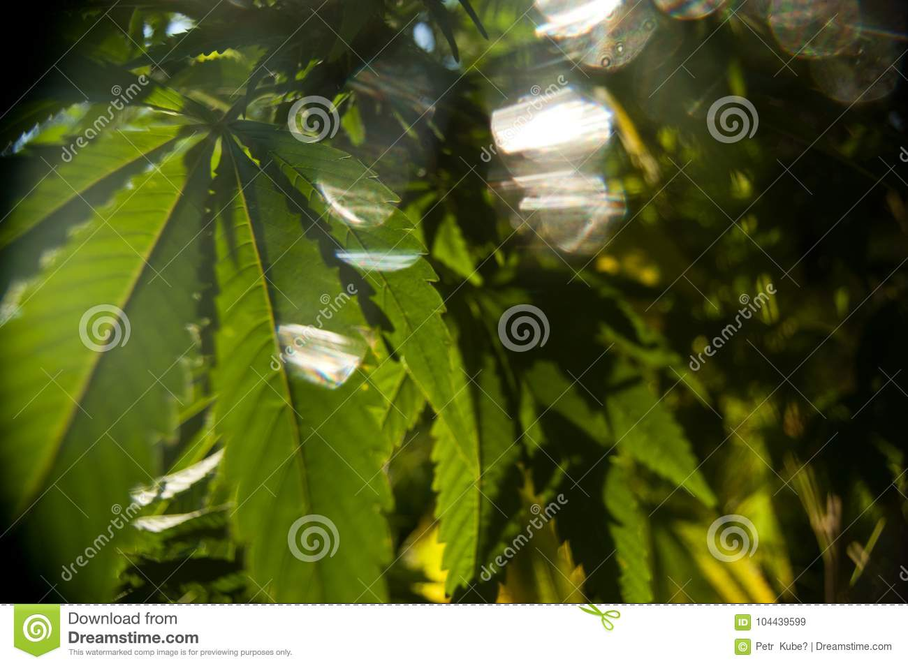 As folhas da marijuana brilham no brilho eterno do sol