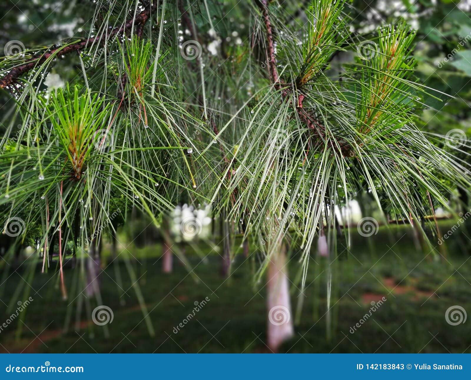 As folhas de árvores sempre-verdes após a chuva com gotas da água na agulha deram forma às folhas