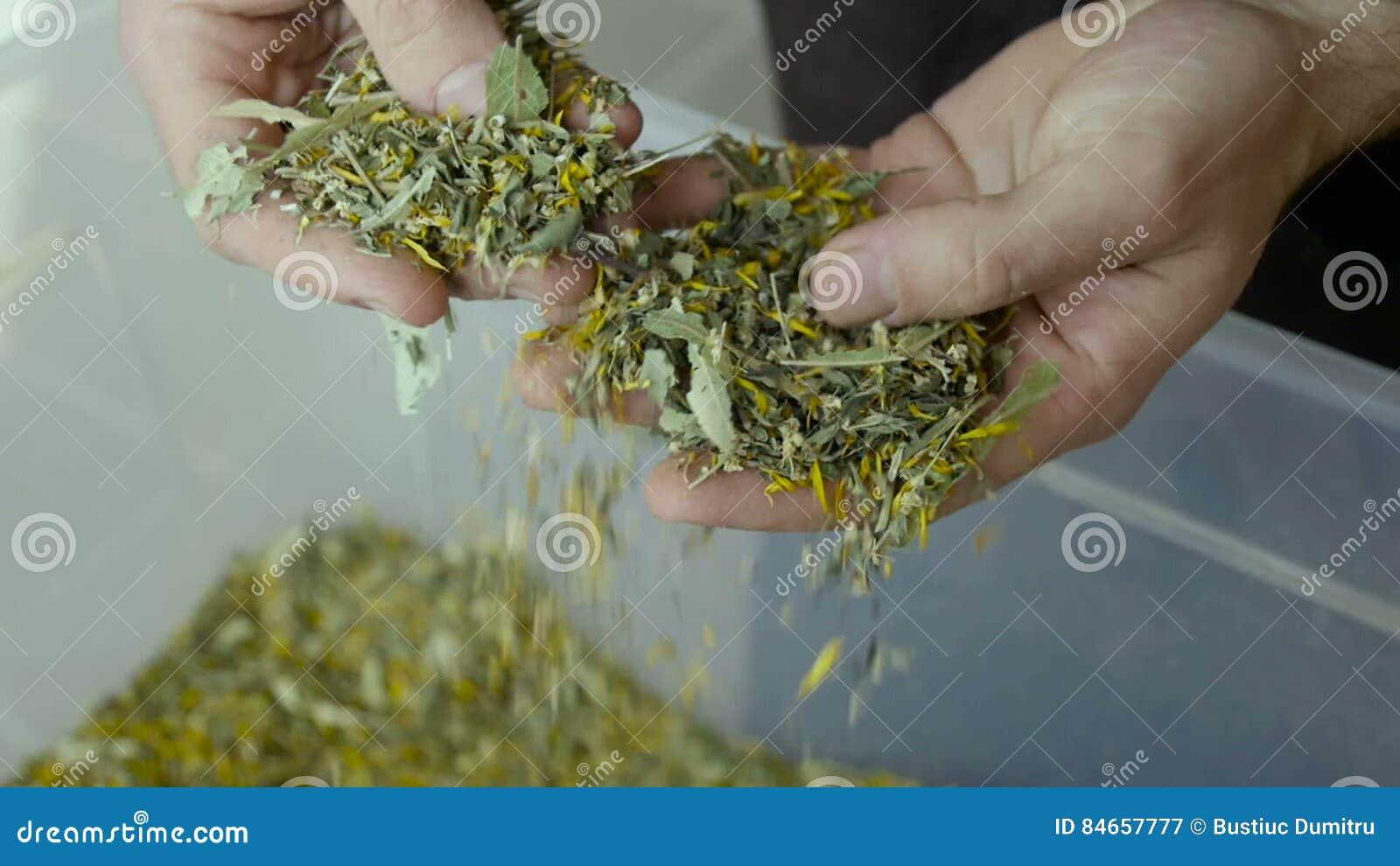 As folhas de chá da picareta dos fazendeiros são produzidas filme