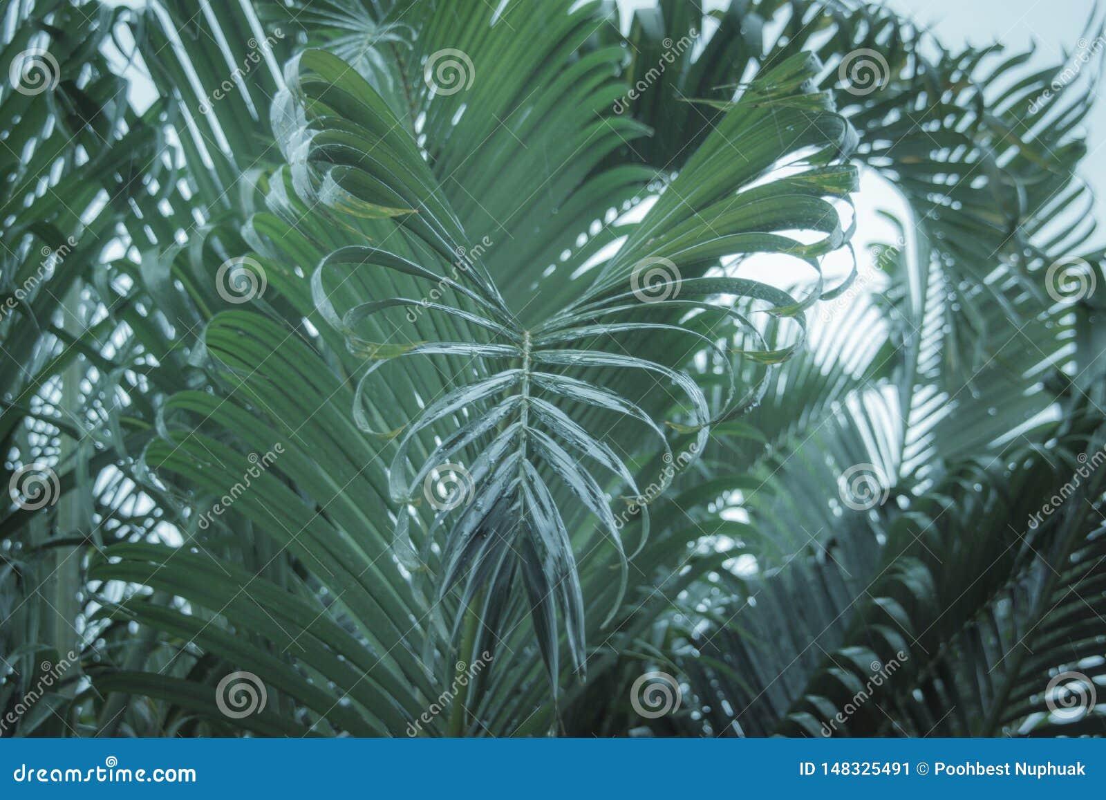 As folhas de palmeira que incham para baixo podem ser vistas como uma forma do coração