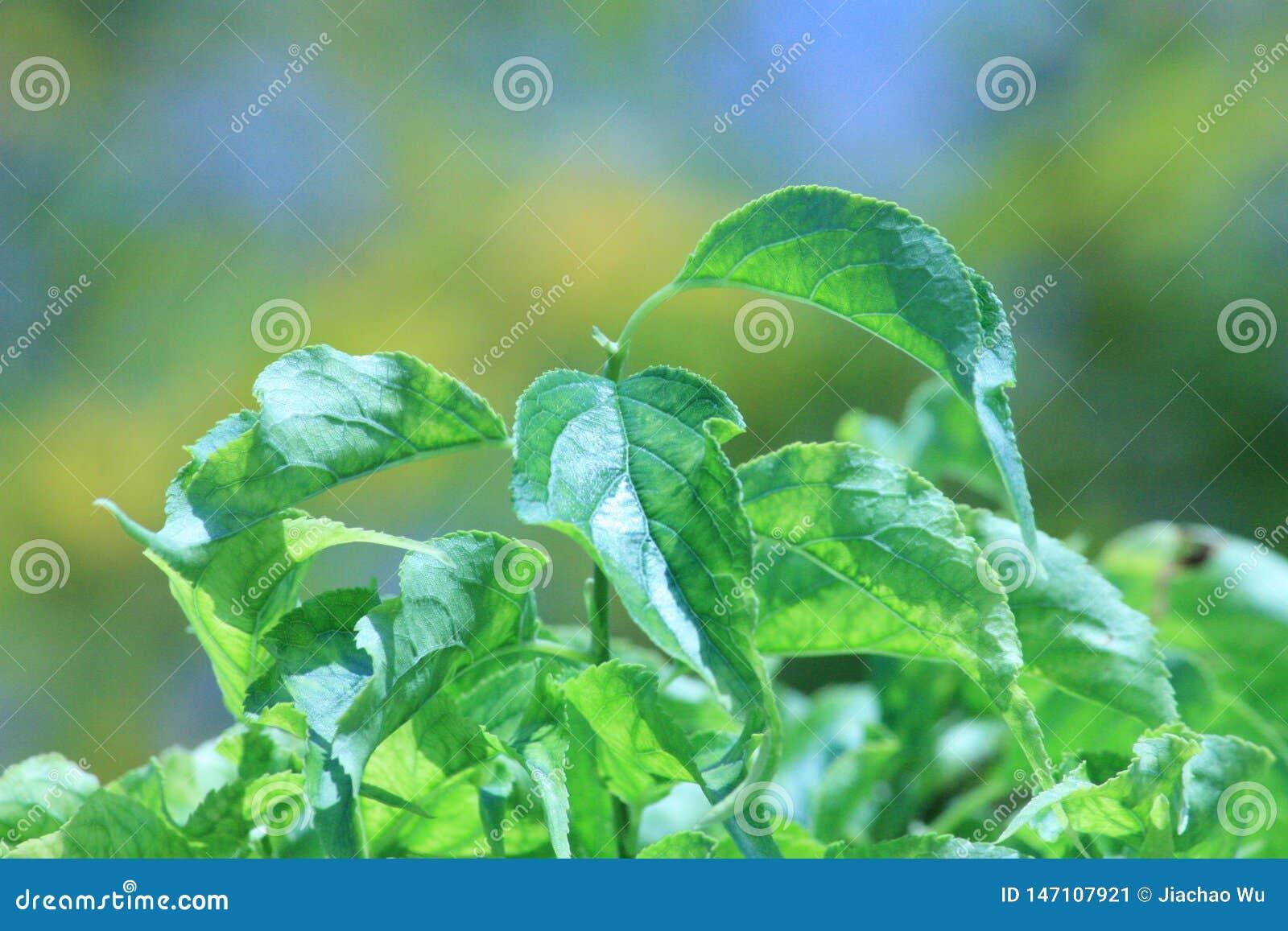 As folhas de uma planta esmeralda