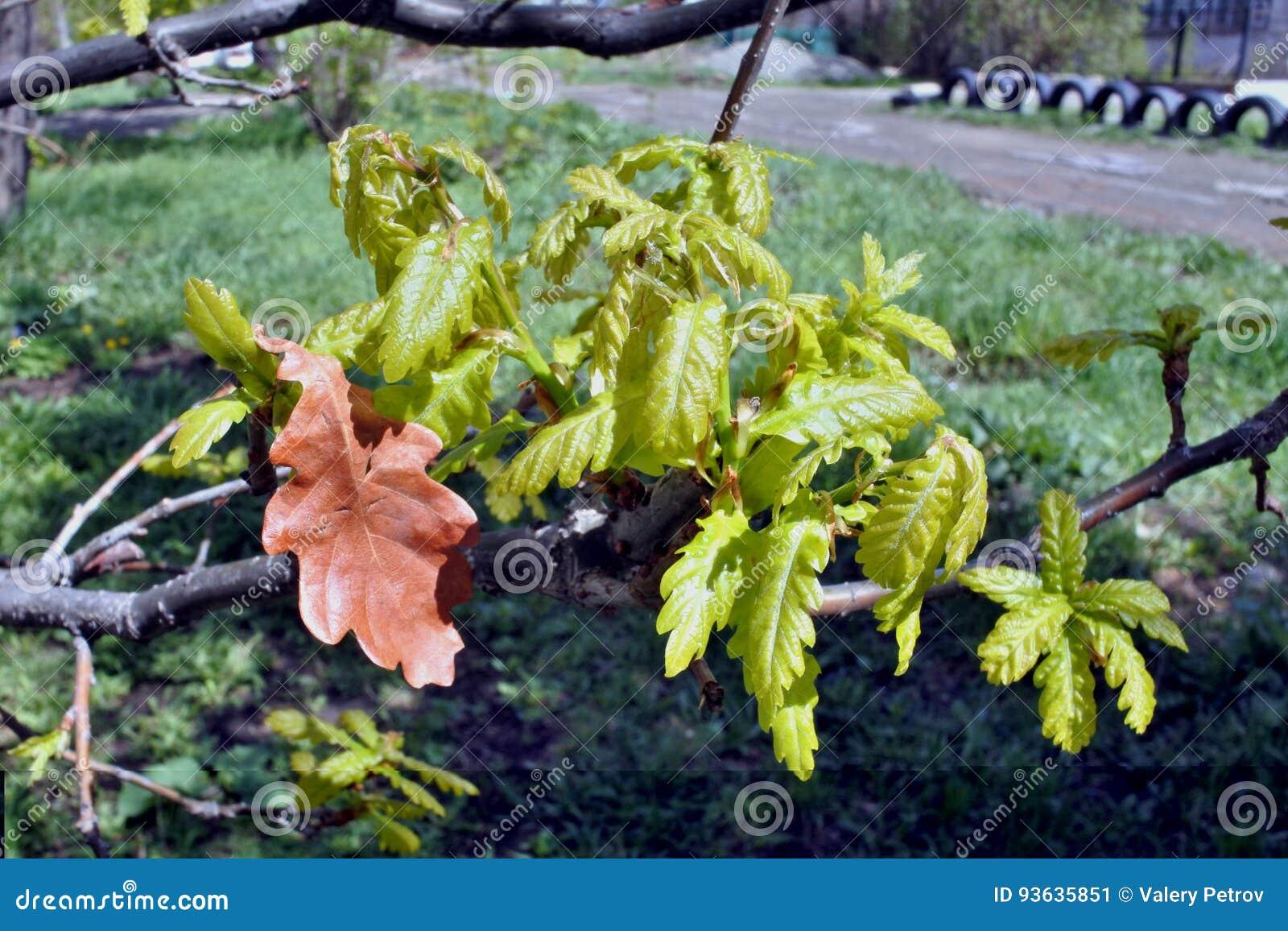 As folhas novas do carvalho