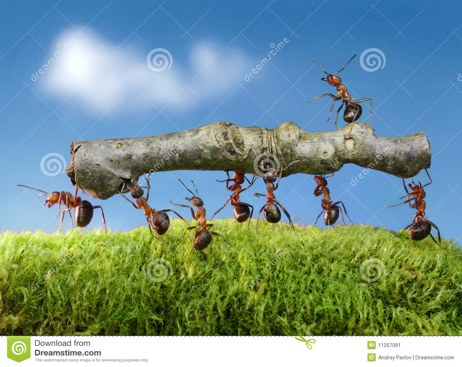 As formigas carreg o registro