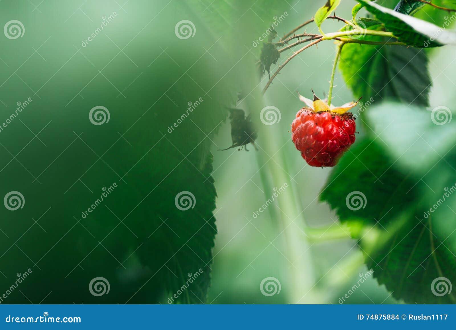 As framboesas maduras que crescem no arbusto saem do fundo