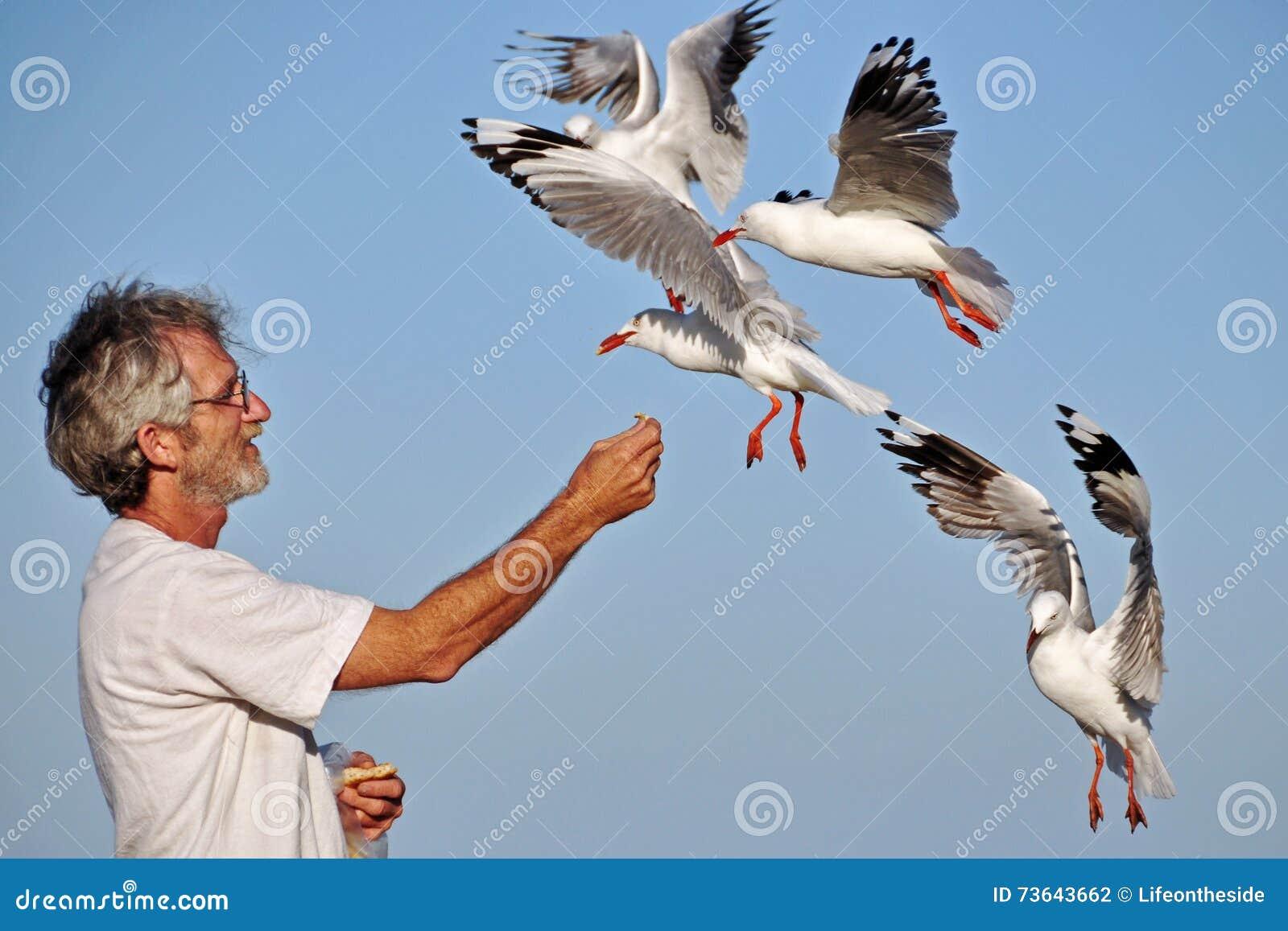 As gaivotas de alimentação da mão superior de um homem mais idoso pássaros de mar no verão encalham o feriado