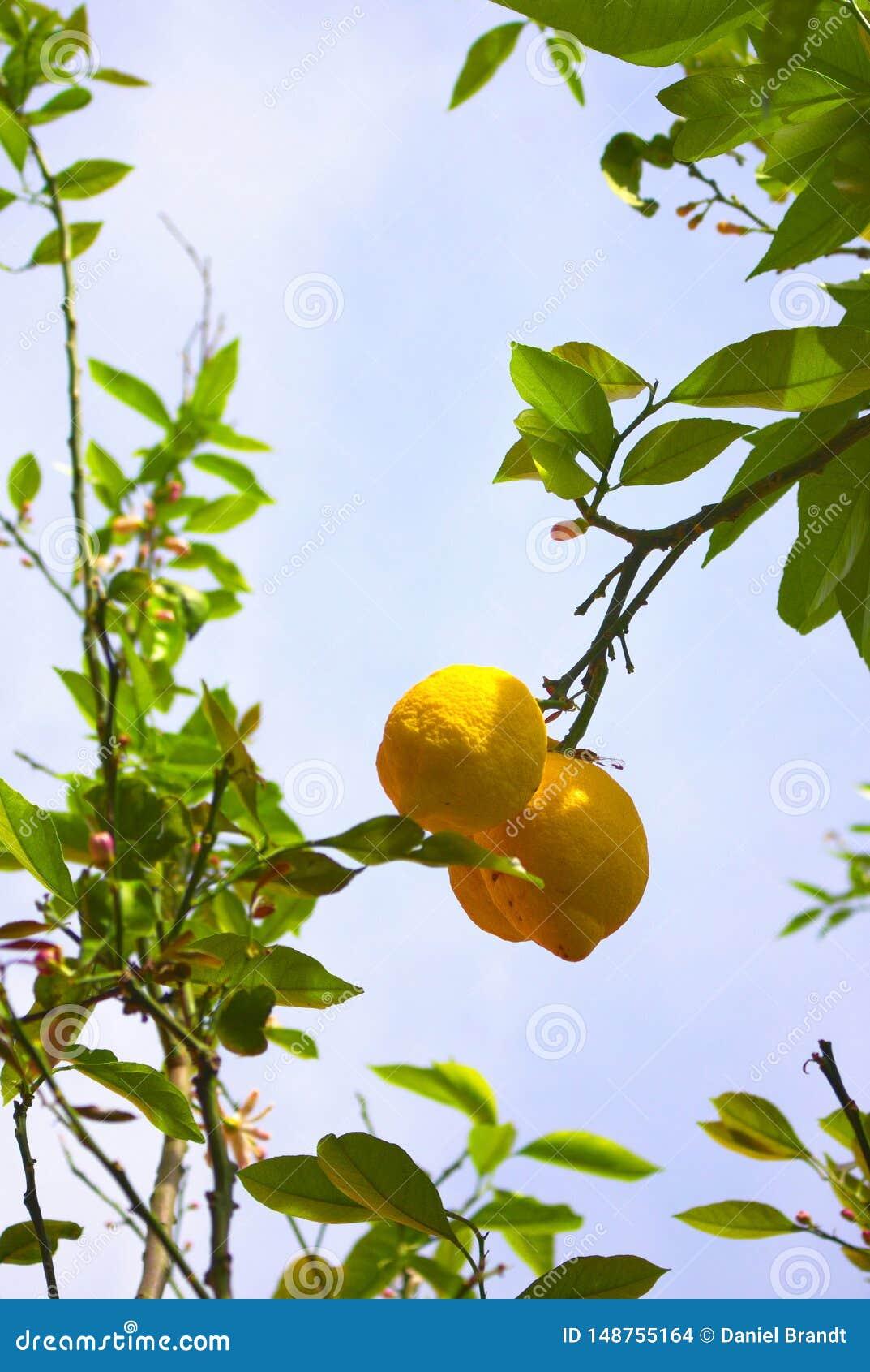 Huge lemons of Campanie- Italy