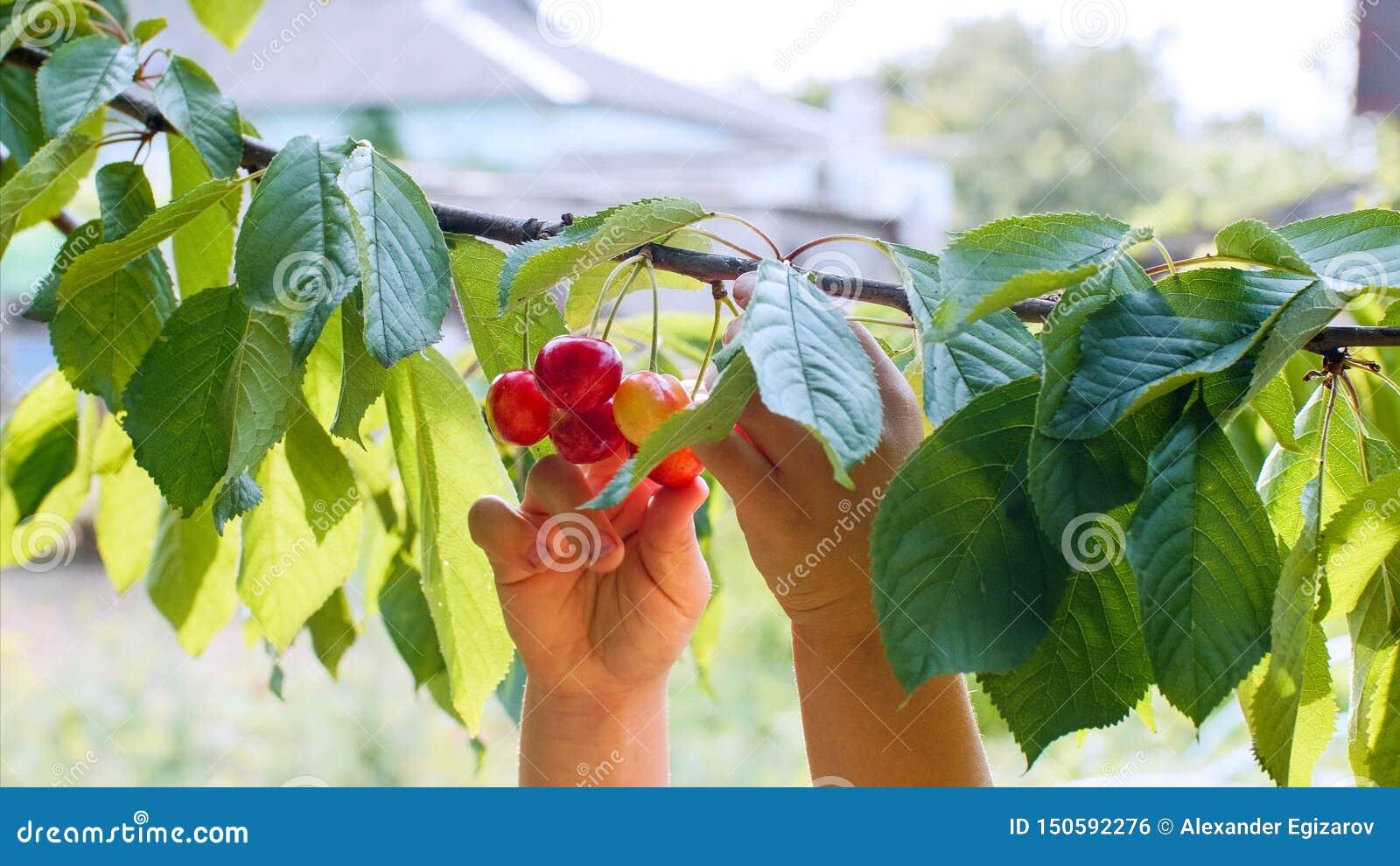 As mãos da criança arrancam cerejas de um ramo