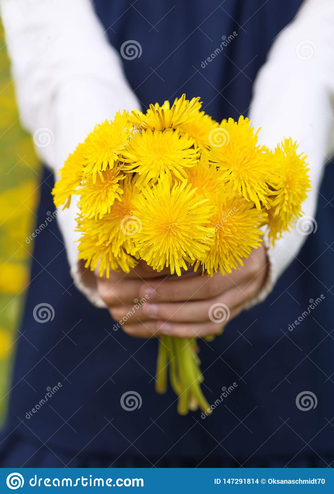As mãos da menina que guardam um ramalhete de dentes-de-leão amarelos brilhantes