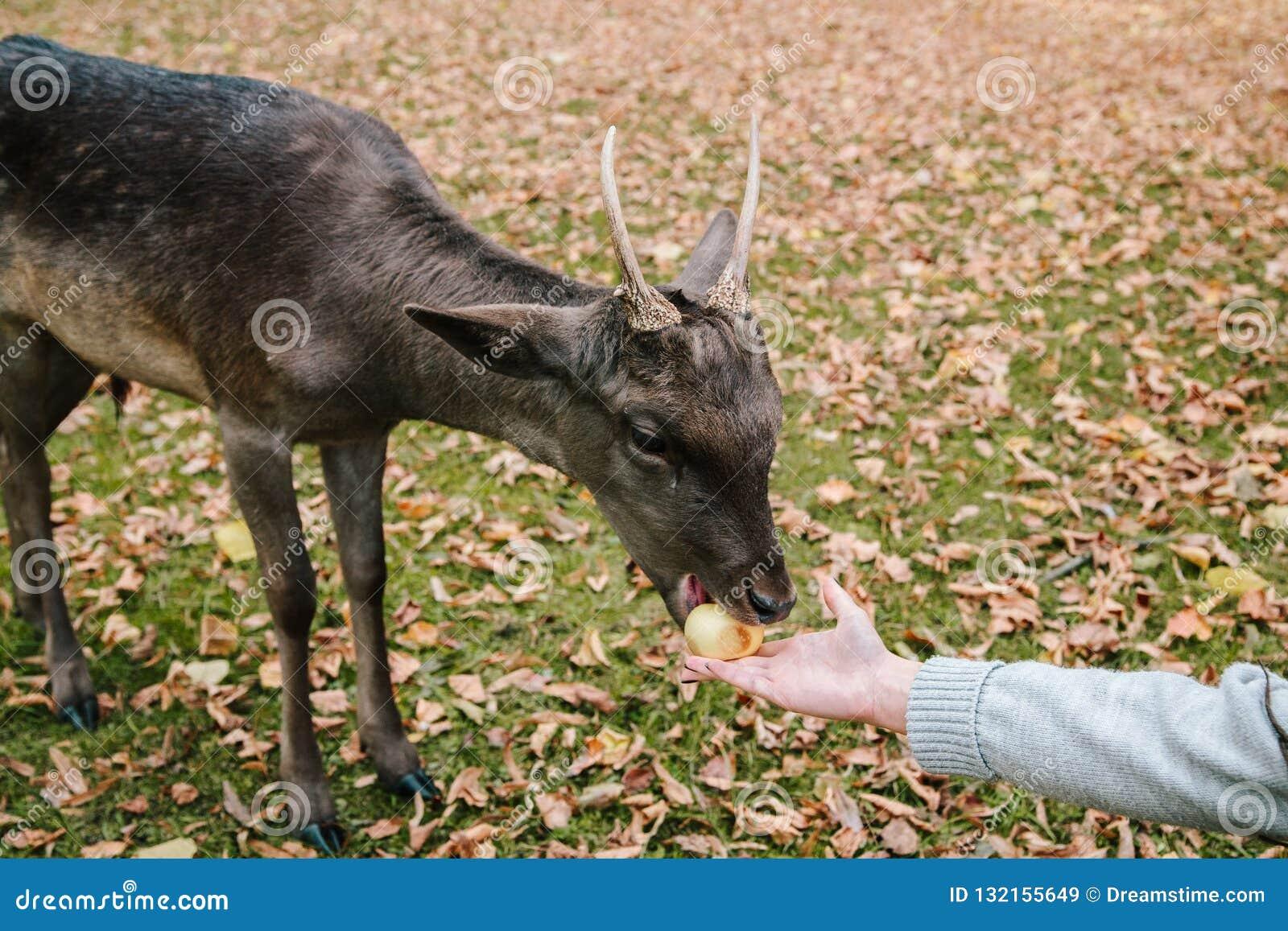As mãos de uma moça são alimentação por uma maçã um cervo no parque do castelo de Blatna República checa