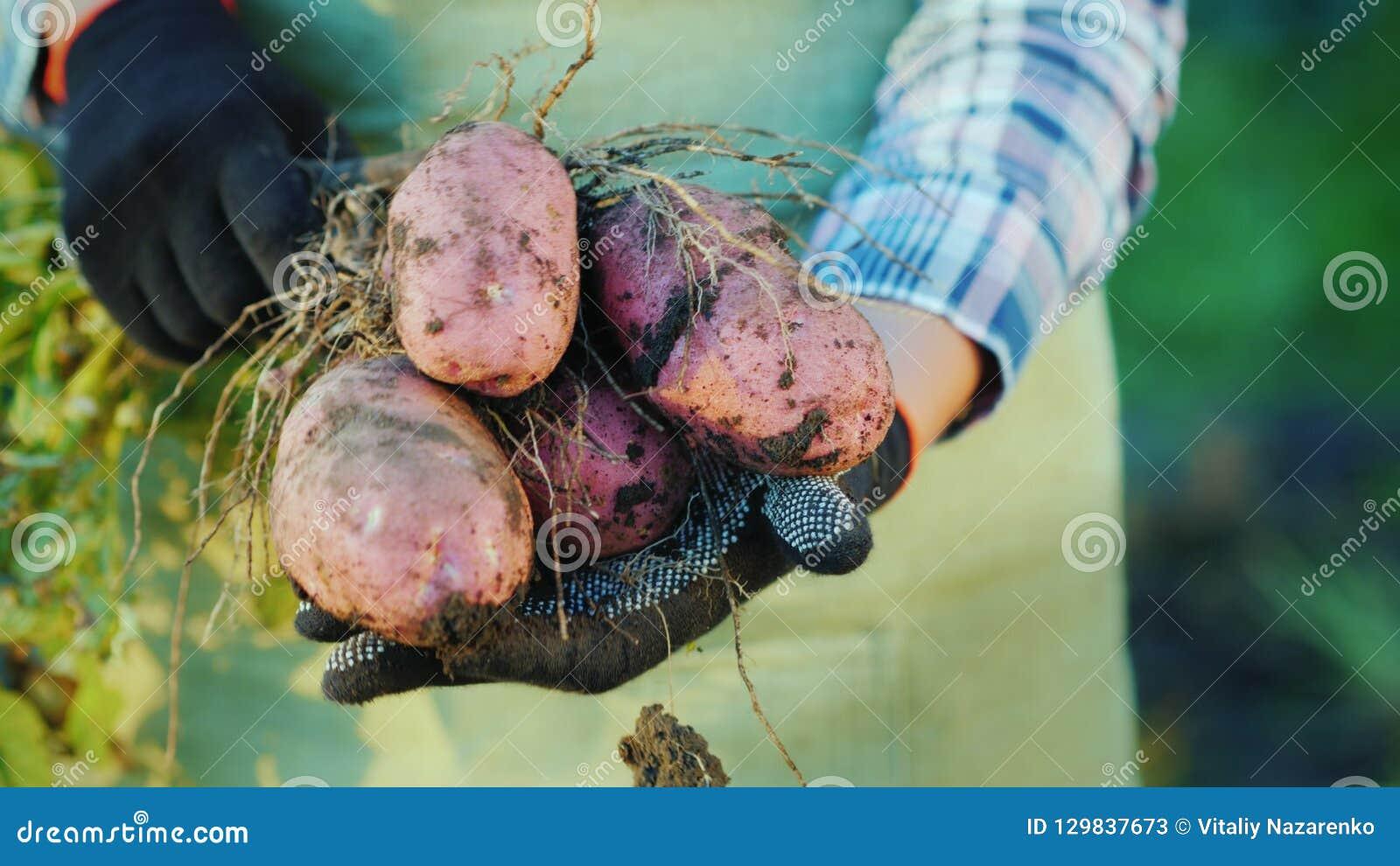 As mãos do fazendeiro estão guardando tubérculos da batata Produtos orgânicos da exploração agrícola
