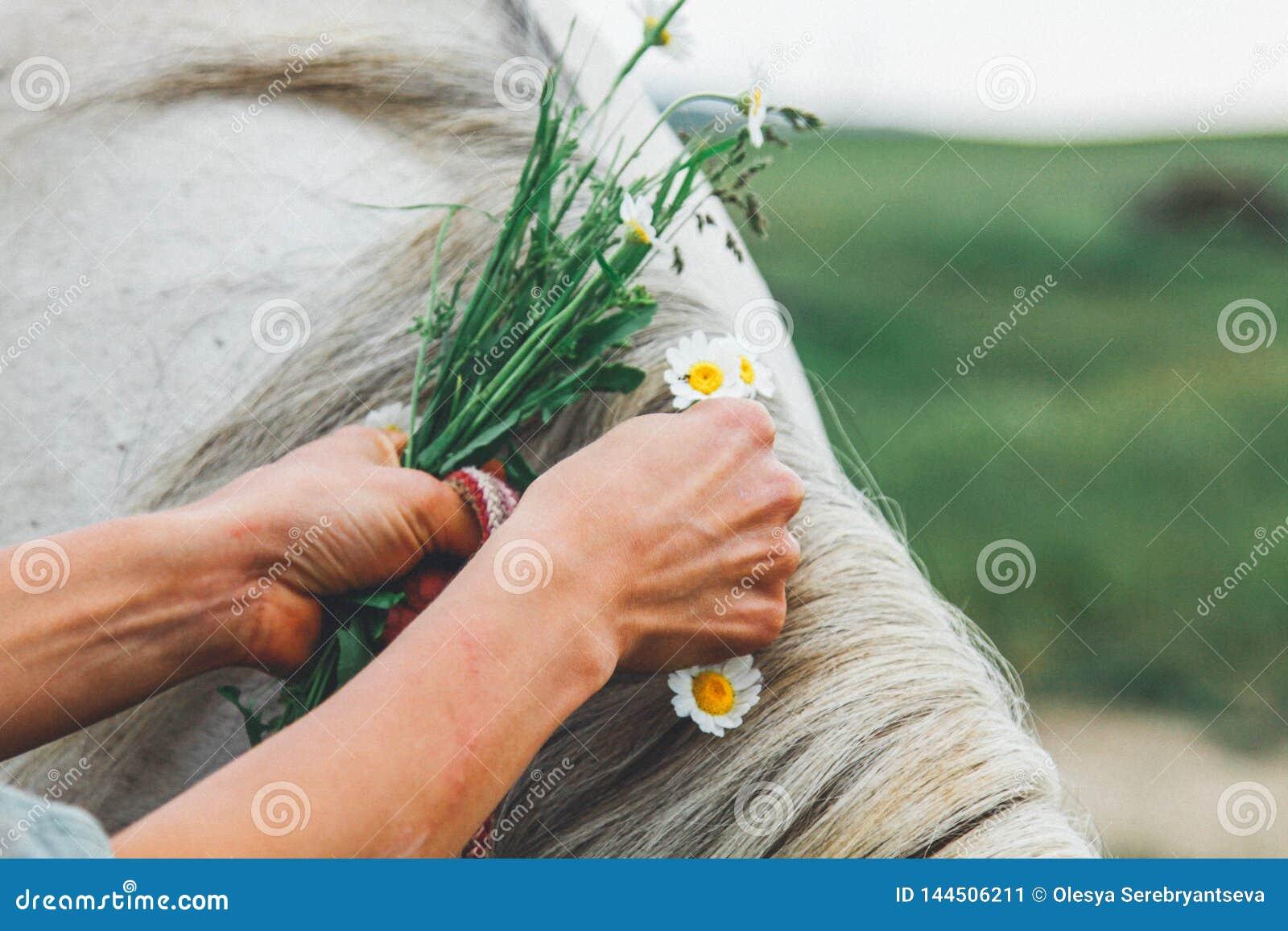 As mãos fêmeas trançam em uma juba cinzenta de um cavalo de uma camomila