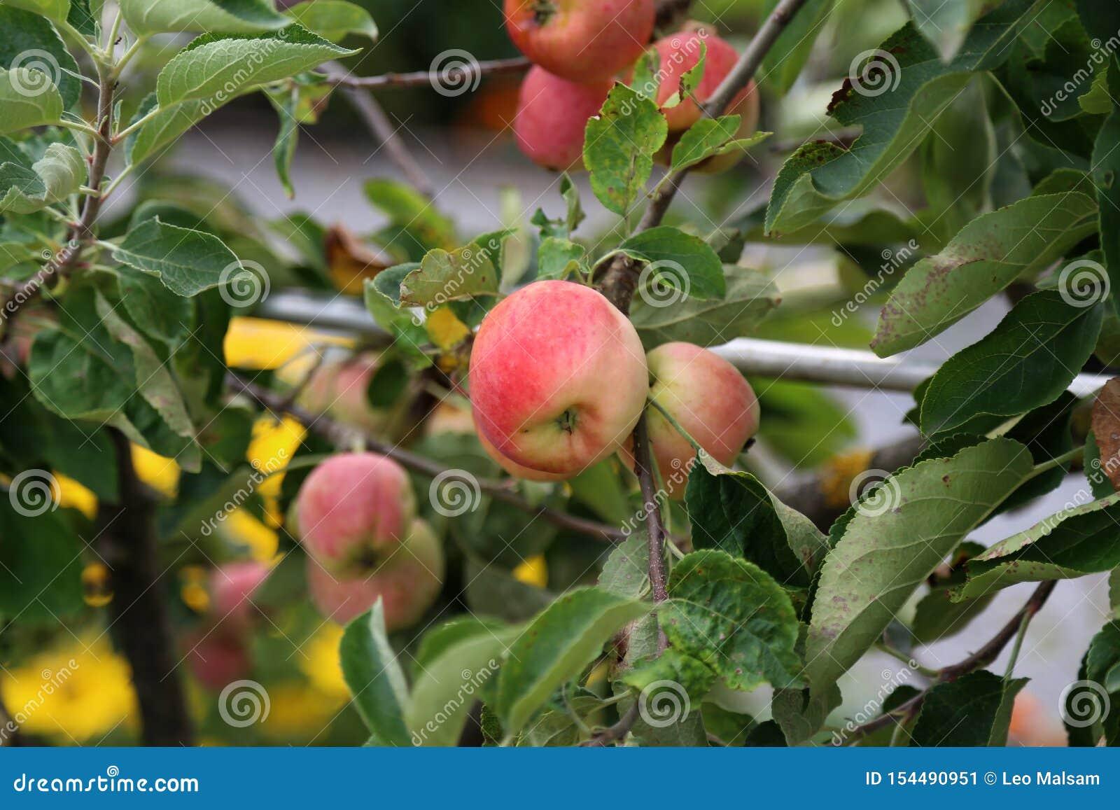 As maçãs amadurecem-se em ramos de árvore no jardim