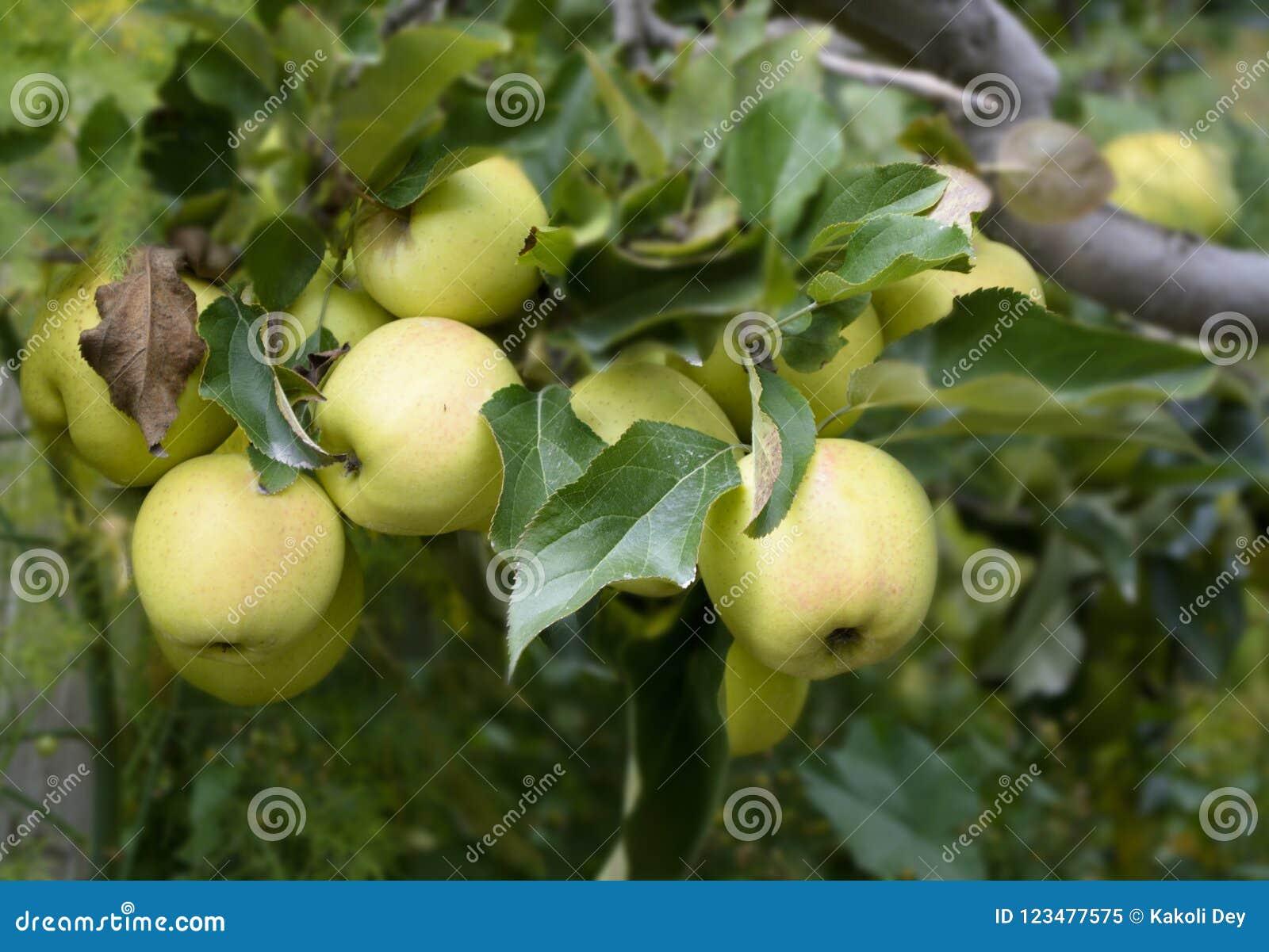As maçãs verdes são populares, suculentas e saborosos e são colhidas em Kalpa, Himachal Pradesh
