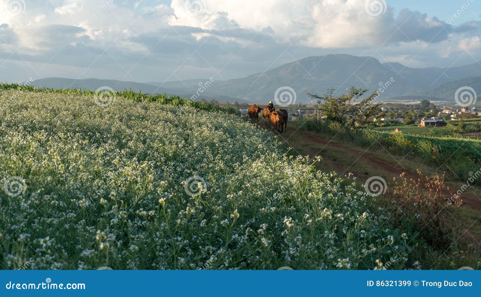 As mulheres vão na maneira dentro do campo da mostarda com a flor branca em DonDuong - Dalat- Vietname