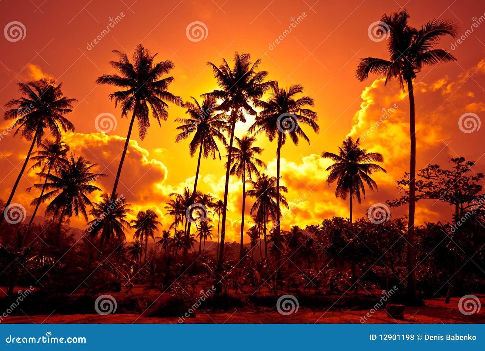 As palmas de coco na areia encalham no trópico no por do sol