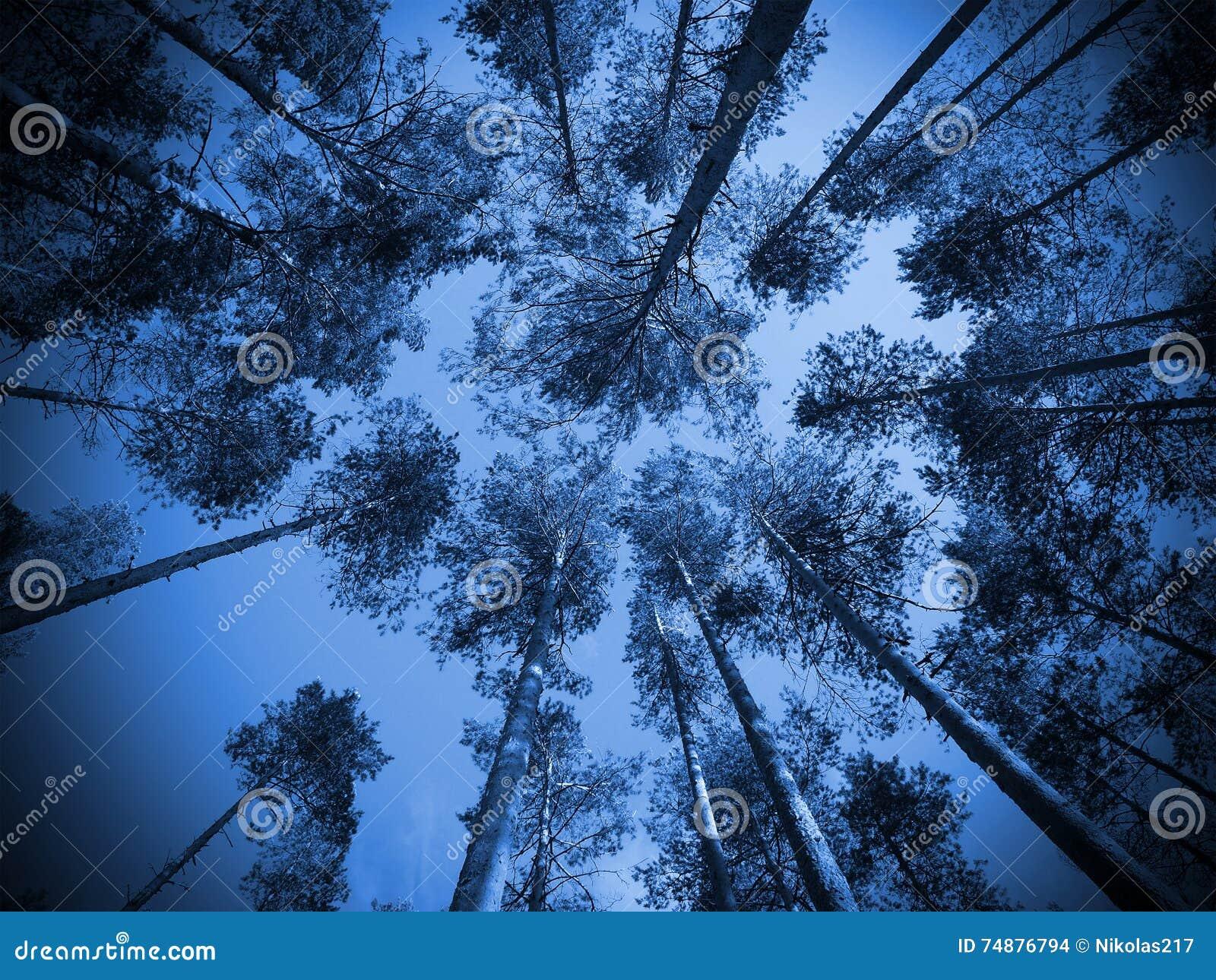 As partes superiores dos pinheiros e do céu no crepúsculo
