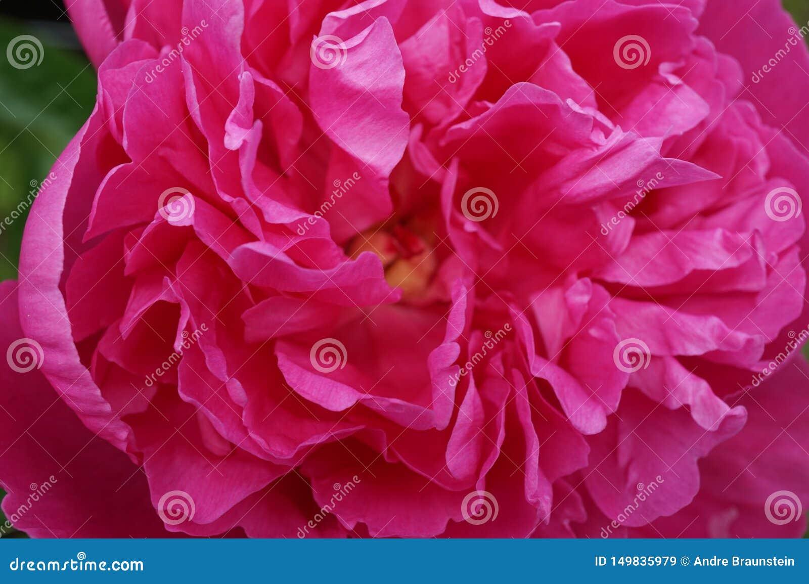 As peônias cor-de-rosa floresceram inteiramente na opinião do close-up